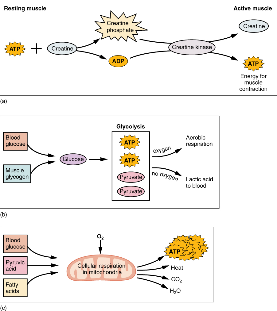 This figure shows the metabolic processes in muscle. The top panel shows the reactions in resting muscle. The middle panel shows glycolysis and aerobic respiration and the bottom panel shows cellular respiration in mitochondria.