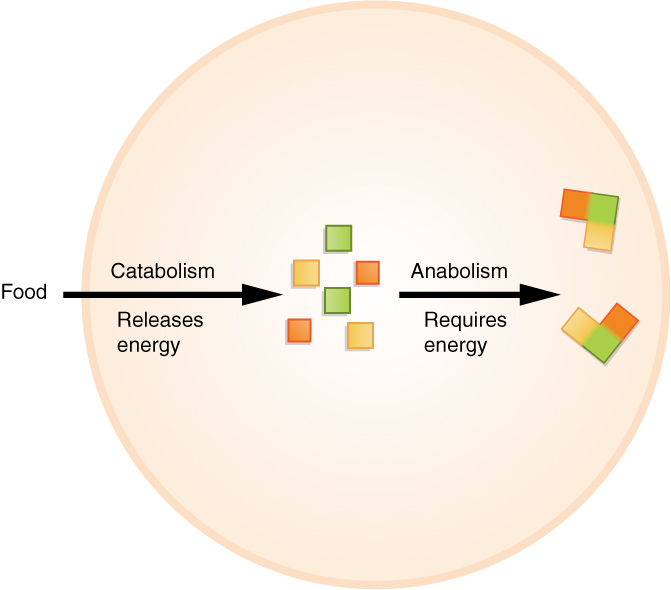 This illustration shows food entering a cell and being broken down into smaller particles of different colors. This is catabolism, which releases energy. In anabolism, the different colored particles are combined with each other to form larger, multi-colored structures. Anabolism requires an energy input.