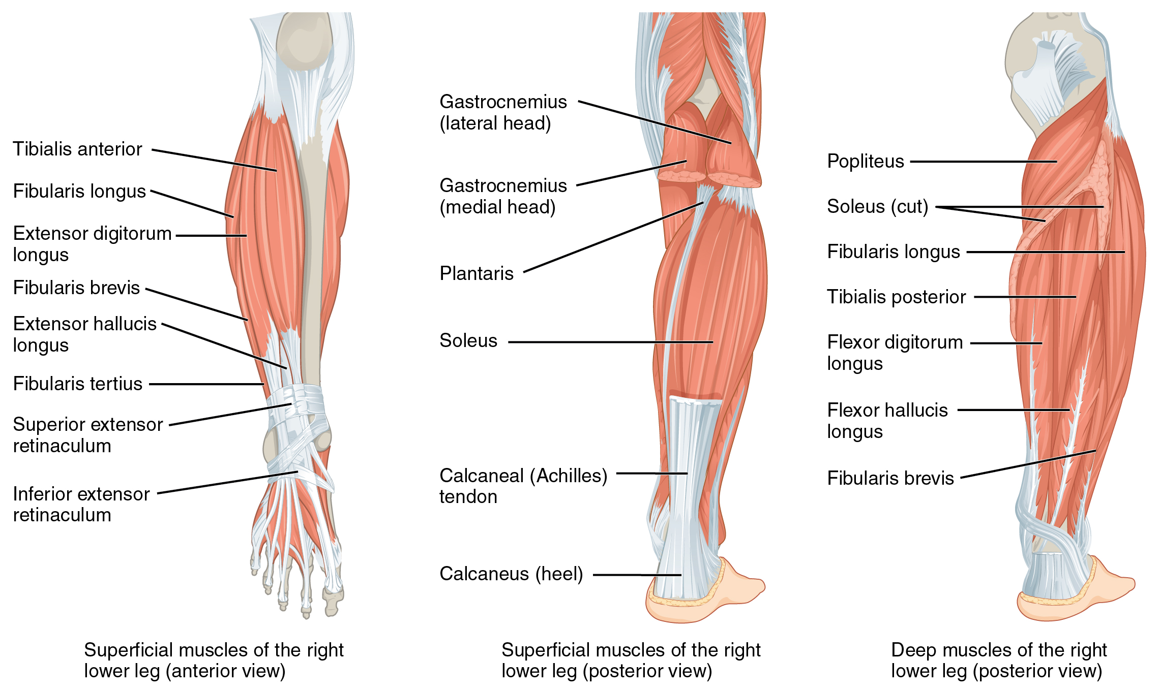 The left panel shows the superficial muscles that move the feet and the center panel shows the posterior view of the same muscles. The right panel shows the deep muscles of the right lower leg.