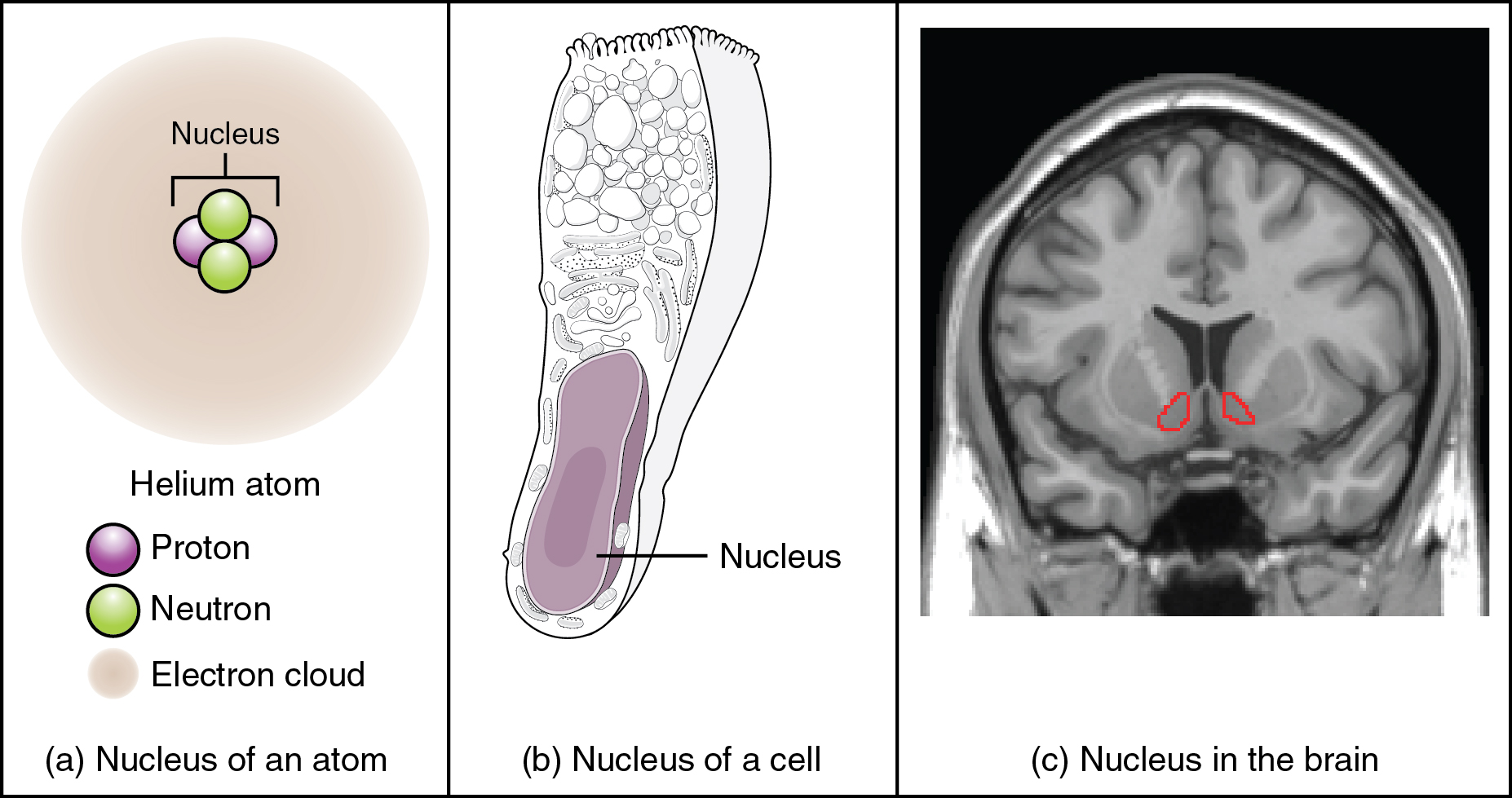 This figure shows two diagrams and a photo, labeled A, B, and C. Image A shows an atom composed of two neutrons and two protons surrounded by a hazy electron cloud. The nucleus of the atom is where the protons and neutrons are located. Image B shows a trumpet shaped cell with a large, oval nucleus near its narrow end. This is the nucleus of a cell. Image C shows an MRI capture of the brain. Two red areas near the center of the brain are highlighted in red. These are the nuclei within the brain.