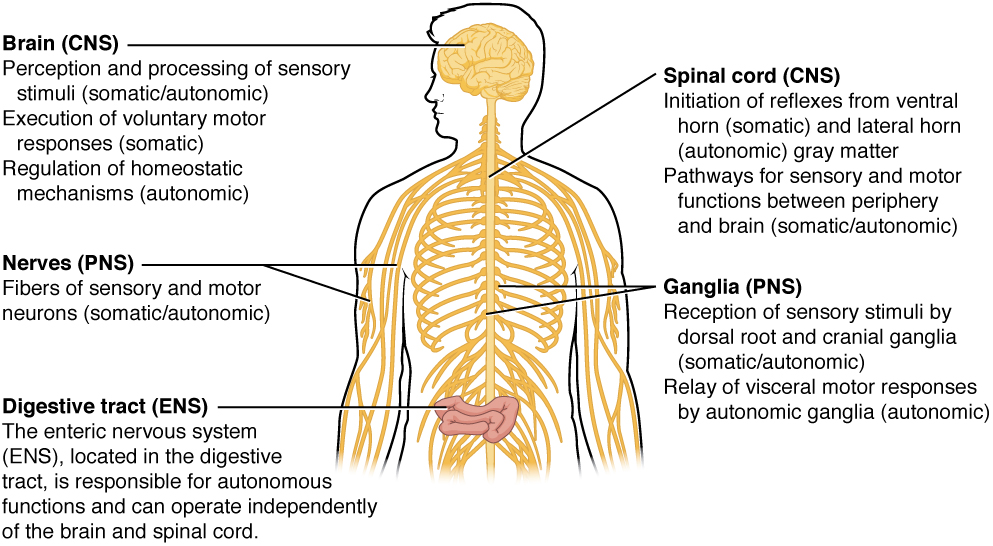 This illustration shows a silhouette of a human with only the brain, spinal cord, PNS ganglia, nerves and a section of the digestive tract visible. The brain, which is part of the CNS, is the area of perception and processing of sensory stimuli (somatic/autonomic), the execution of voluntary motor responses (somatic), and the regulation of homeostatic mechanisms (autonomic). The spinal cord, which is part of the CNS, is the area where reflexes are initiated. The gray matter of the ventral horn initiates somatic reflexes while the gray matter of the lateral horn initiates autonomic reflexes. The spinal cord is also the somatic and autonomic pathway for sensory and motor functions between the PNS and the brain. The nerves, which are part of the PNS, are the fibers of sensory and motor neurons, which can be either somatic or autonomic. The ganglia, which are part of the PNS, are the areas for the reception of somatic and autonomic sensory stimuli. These are received by the dorsal root ganglia and cranial ganglia. The autonomic ganglia are also the relay for visceral motor responses. The digestive tract is part of the enteric nervous system, the ENS, which is located in the digestive tract and is responsible for autonomous function. The ENS can operate independent of the brain and spinal cord.