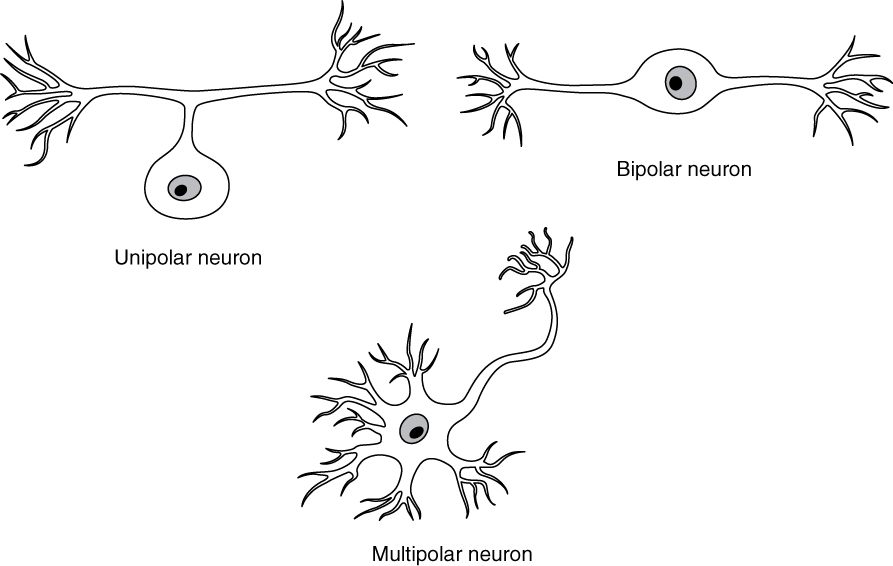 Three illustrations show some of the possible shapes that neurons can take. In the unipolar neuron, the dendrite enters from the left and merges with the axon into a common pathway, which is connected to the cell body. The axon leaves the cell body through the common pathway, the branches off to the right, in the opposite direction as the dendrite. Therefore, this neuron is T shaped. In the bipolar neuron, the dendrite enters into the left side of the cell body while the axon emerges from the opposite (right) side. In a multipolar neuron, multiple dendrites enter into the cell body. The only part of the cell body that does not have dendrites is the part that elongates into the axon.