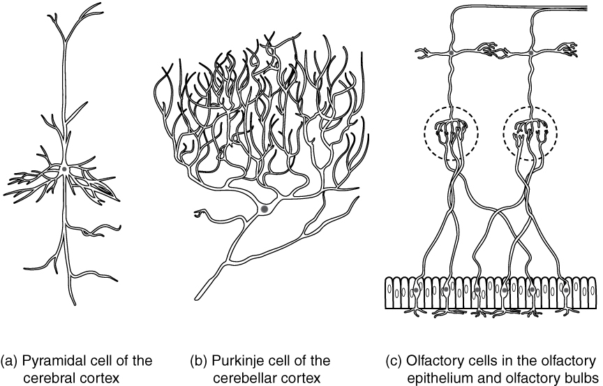 This diagram contains three black and white drawings of more specialized nerve cells. Part A shows a pyramidal cell of the cerebral cortex, which has two, long, nerve tracts attached to the top and bottom of the cell body. However, the cell body also has many shorter dendrites projecting out a short distance from the cell body. Part B shows a Purkinje cell of the cerebellar cortex. This cell has a single, long, nerve tract entering the bottom of the cell body. Two large nerve tracts leave the top of the cell body but immediately branch many times to form a large web of nerve fibers. Therefore, the purkinje cell somewhat resembles a shrub or coral in shape. Part C shows the olfactory cells in the olfactory epithelium and olfactory bulbs. It contains several cell groups linked together. At the bottom, there is a row of olfactory epithelial cells that are tightly packed, side-by-side, somewhat resembling the slats on a fence. There are six neurons embedded in this epithelium. Each neuron connects to the epithelium through branching nerve fibers projecting from the bottom of their cell bodies. A single nerve fiber projects from the top of each neuron and synapses with nerve fibers from the neurons above. These upper neurons are cross shaped, with one nerve fiber projecting from the bottom, top, right and left sides. The upper cells synapse with the epithelial nerve cells using the nerve tract projecting from the bottom of their cell body. The nerve tract projecting from the top continues the pathway, making a ninety degree turn to the right and continuing to the right border of the image.