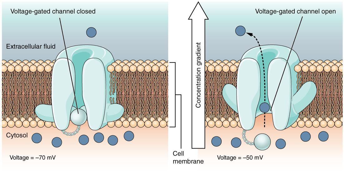 This is a two part diagram. Both diagrams show a voltage gated channel embedded in the lipid membrane bilayer. The channel contains a sphere shaped gate that is attached to a filament. In the first diagram there are several ions in the cytosol but only one ion in the extracellular fluid. The voltage across the membrane is currently minus seventy millivolts and the voltage gated channel is closed. In the second diagram, the voltage in the cytosol is minus fifty millivolts. This voltage change has caused the voltage gated channel to open, as the small sphere is no longer occluding the channel. One of the ions is moving through the channel, down its concentration gradient, and out into the extracellular fluid.