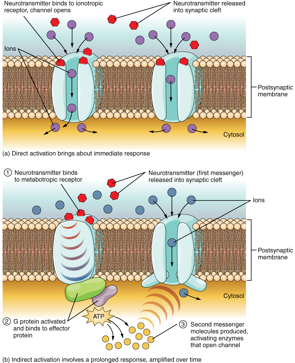 This diagram contains two images, labeled A and B. Both images show a cross section of a postsynaptic membrane. There are two proteins embedded in each of the two membrane cross sections. In diagram A, direct activation brings about an immediate response. Here, both of the membrane proteins are ion channels. Several hexagonal neurotransmitters bind to ionotropic receptors on the extracellular fluid side of the channels. The binding of neurotransmitters causes the channels to open, allowing ions to flow from the extracellular fluid into the cytosol. Image B shows indirect activation, which involves a prolonged response, amplified over time. Here, one of the cell membrane proteins is solid while the other is a channel. Neurotransmitters bind to metabotropic receptors on the extracellular side of the solid protein. This triggers the solid protein to activate a G protein in the cytoplasm. The G protein binds to an effector protein in the cytoplasm, which results in the production of several second messenger particles. The second messenger activates enzymes that open the channel protein, allowing ions to enter the cytoplasm.