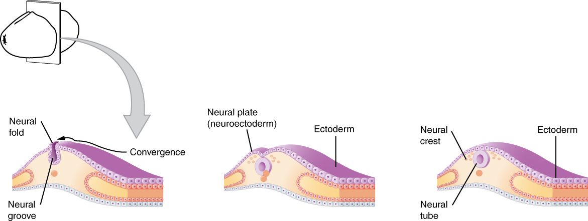 This figure shows the development of the neural tube in an embryo. The left panel shows the formation of a neural fold in the neuroectoderm. The middle panel shows the formation of the neural plate and the right panel shows the formation of the neural crest and neural tube.