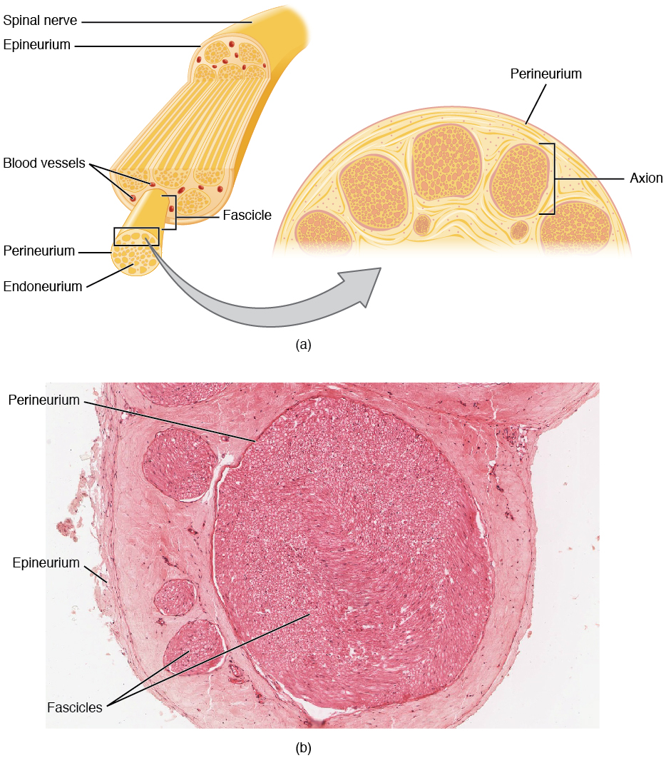 This figure shows the structure of a nerve. The top panel shows the cross section of a spinal nerve and the major parts are labeled. The bottom panel shows a micrograph of the cross-section of a spinal nerve.