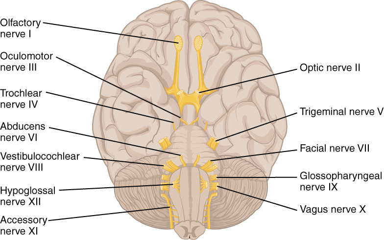 This diagrams shows the brain and the main nerves in the brain are labeled.