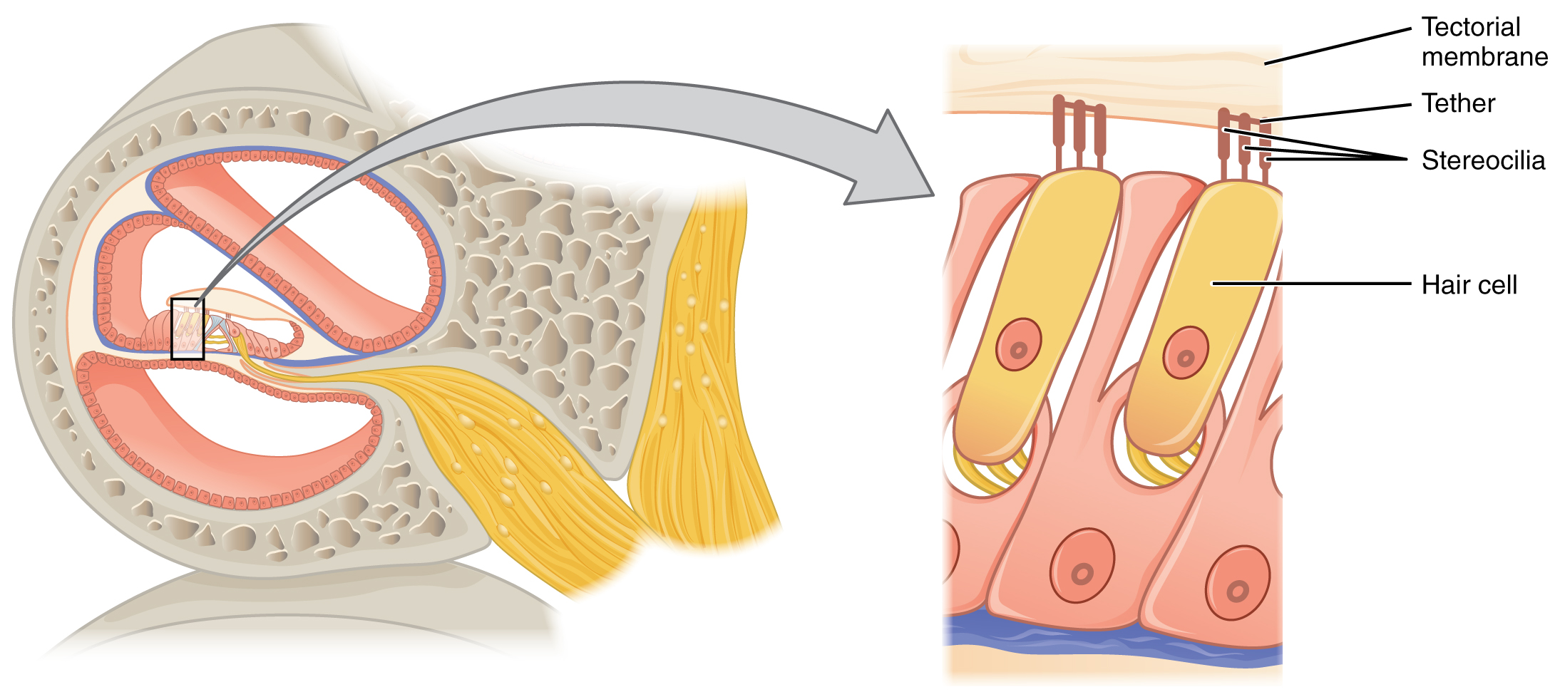 This diagram shows the structure of the hair cell. The right panel shows a magnified view of the hair cell.