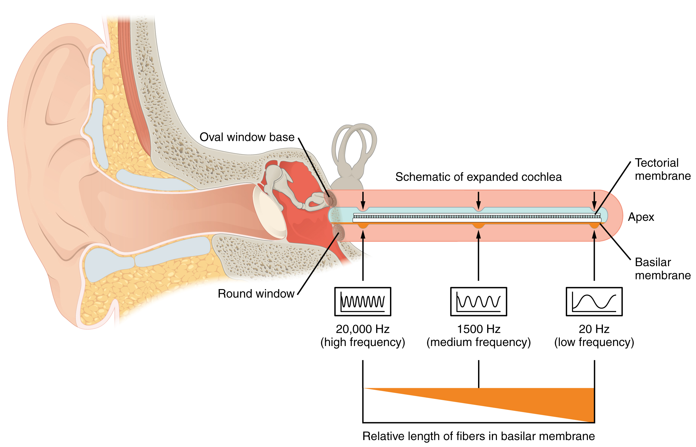 This diagram shows how different sound frequencies are coded in the cochlea.