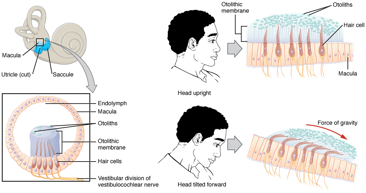 This diagram shows how the macula orients itself to allow for equilibrium. The top left panel shows the inner ear. The bottom left panel shows the cellular structure of the macula. In the top right panel, a person's head is shown in the side view along with the orientation of the macula. In the bottom right panel, a person's head is shown with the head tilted forward and depicts the orientation of the macula to account for the tilt.