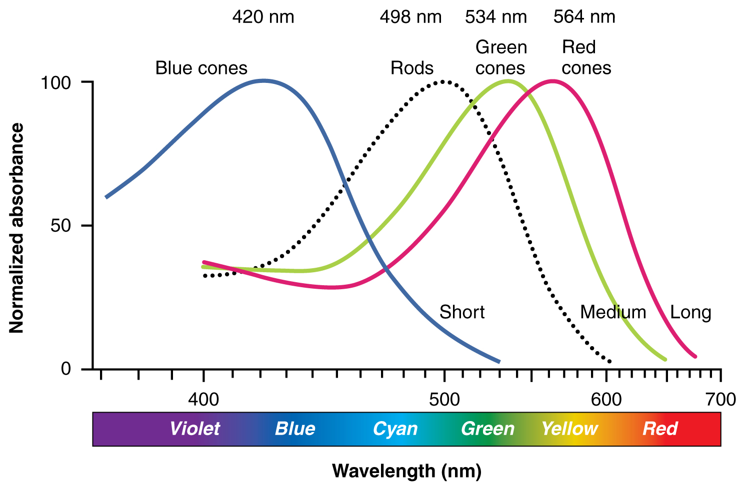 This graph shows the normalized absorbance versus wavelength for different cell types in the eye.