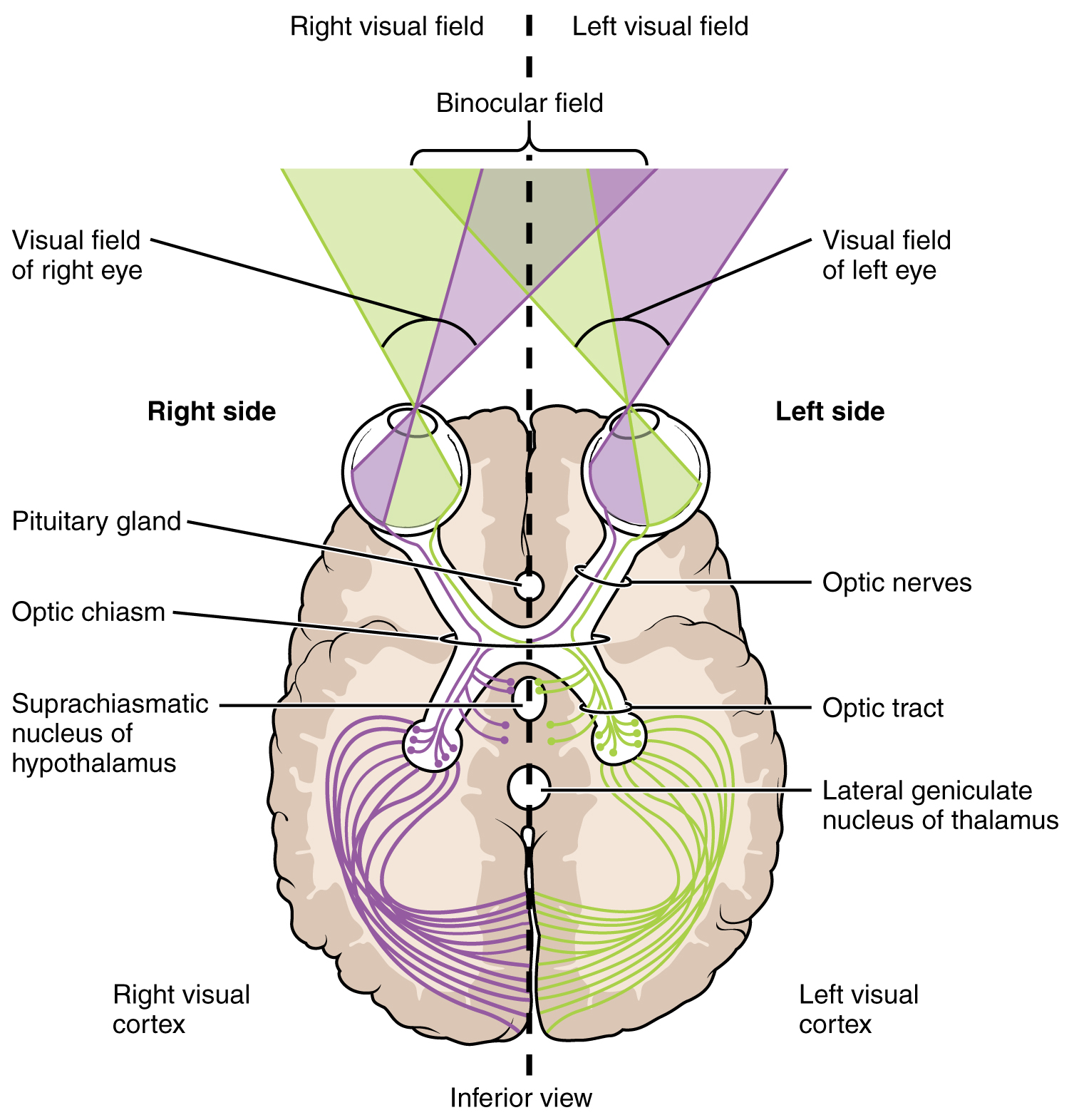 This image shows the right and left visual fields in the brain. It describes how the optical fields map to different sides of the brain.