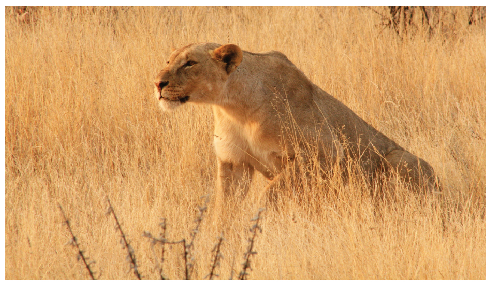 This photograph shows a lioness.