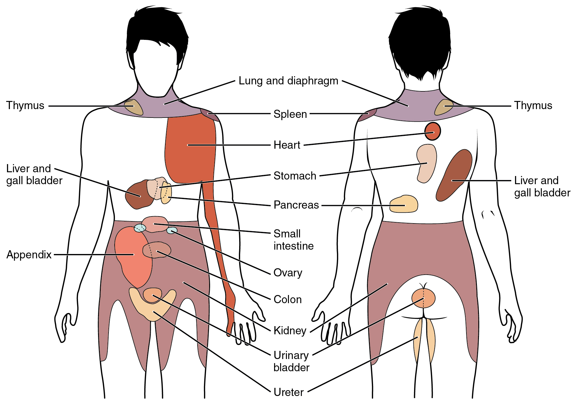 The figure shows the different organs in the human body. The left panel shows the front view, and the right panel shows the back view.
