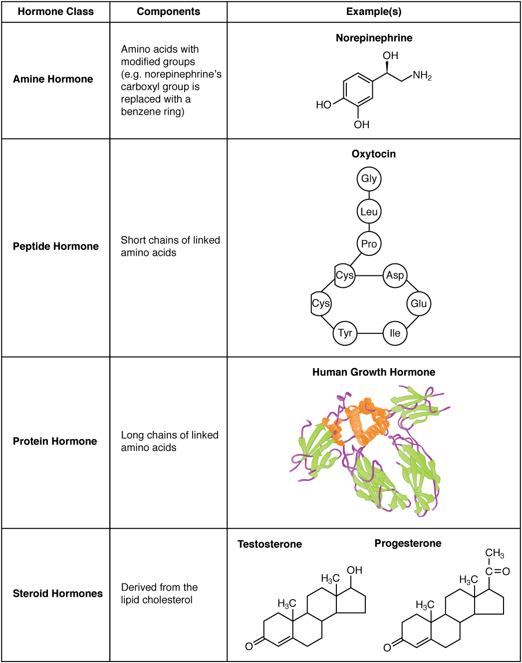 This table shows the chemical structure of amine hormones, peptide hormones, protein hormones, and steroid hormones. Amine hormones are amino acids with modified side groups. The example given is norepinephrine, which contains the NH two group typical of an amino acid, along with a hydroxyl (OH) group. The carboxyl group typical of most amino acids is replaced with a benzene ring, depicted as a hexagon of carbons that are connected by alternating single and double bonds. Peptide hormones are composed of short chains of amino acids. The example given is oxytocin, which has a chain of the following amino acids: GLY, LEU, PRO. The PRO is the bottom of the chain, which connects to a ring of the following amino acids: CYS, CYS, TYR, ILE, GLU, and ASP. Protein hormones are composed of long chains of linked amino acids. The example given is human growth hormone, which is composed of a bundle of amino acid strands, some thread-like, some coiled, and some in flat, folded sheets. Finally, steroid hormones are derived from the lipid cholesterol. Testosterone and progesterone are given as examples, which each contain several hexagonal and pentagonal carbon rings linked together.