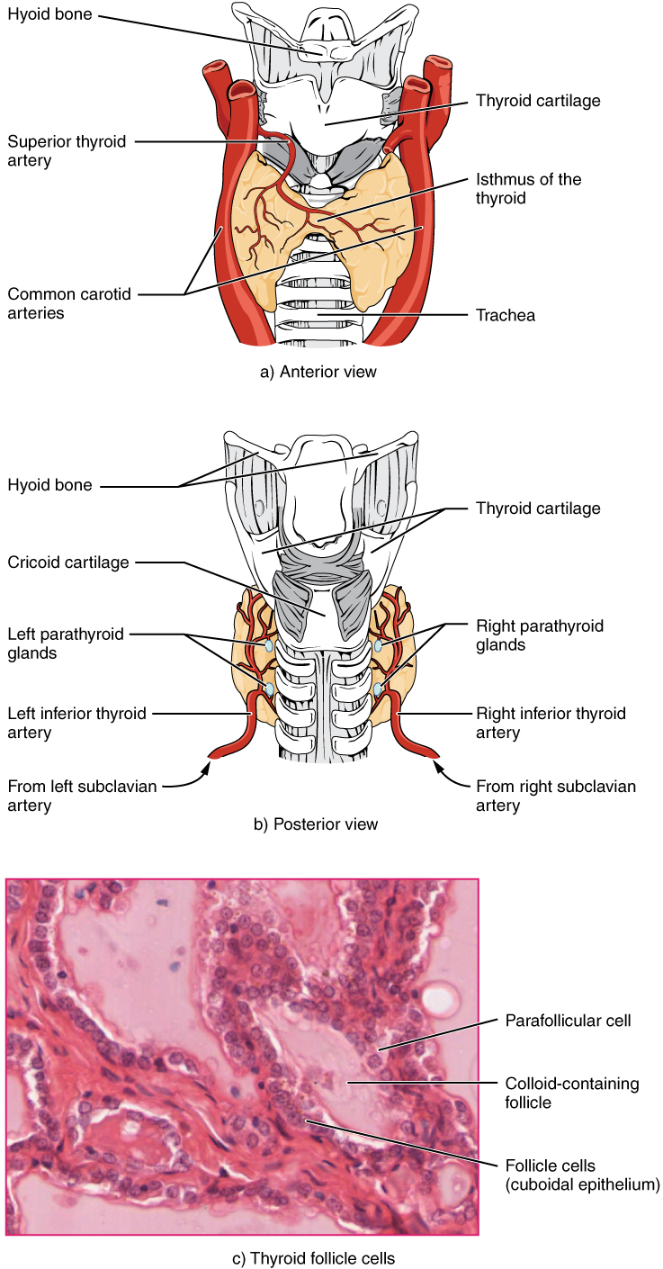 """Part A of this figure is a diagram of the anterior view of the thyroid gland. The thyroid gland is a butterfly-shaped gland wrapping around the trachea. It narrows at its center, just under the thyroid cartilage of the larynx. This narrow area is called the isthmus of the thyroid. Two large arteries, the common carotid arteries, run parallel to the trachea on the outer border of the thyroid. A small artery enters the superior edge of the thyroid, near the isthmus, and branches throughout the two """"wings"""" of the thyroid. Part B of this figure is a posterior view of the thyroid. The posterior view shows that the thyroid does not completely wrap around the posterior of the trachea. The posterior sides of the thyroid wings can be seen protruding from under the cricoid cartilage of the larynx. The posterior sides of the thyroid """"wings"""" each contain two small, disc-shaped parathyroid glands embedded in the thyroid tissue. Within each wing, one disc is located superior to the other. These are labeled the left and right parathyroid glands. Just under the inferior parathyroid glands are two arteries that bring blood to the thyroid from the left and right subclavian arteries. Part C of this figure is a micrograph of thyroid tissue. The thyroid follicle cells are cuboidal epithelial cells. These cells form a ring around irregular-shaped cavities called follicles. The follicles contain light colored colloid. A larger parafollicular cell is embedded between two of the follicular cells near the edge of a follicle."""