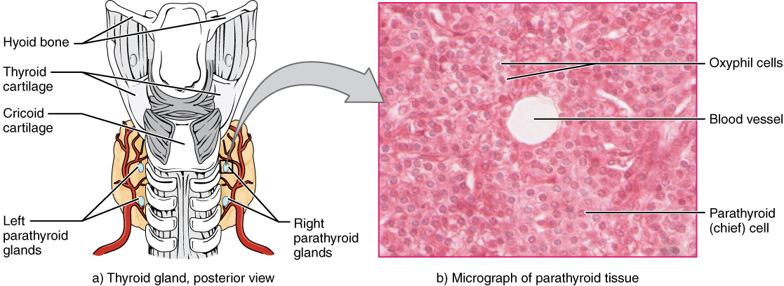 Part A of this diagram shows the four, small, disc-shaped parathyroid glands embedded in the posterior surface of the thyroid gland. Part B shows a micrograph of parathyroid tissue. The tissue is largely composed of cube-shaped chief cells encircling a central blood vessel. A few larger and darker-staining oxyphil cells are embedded within the many chief cells.
