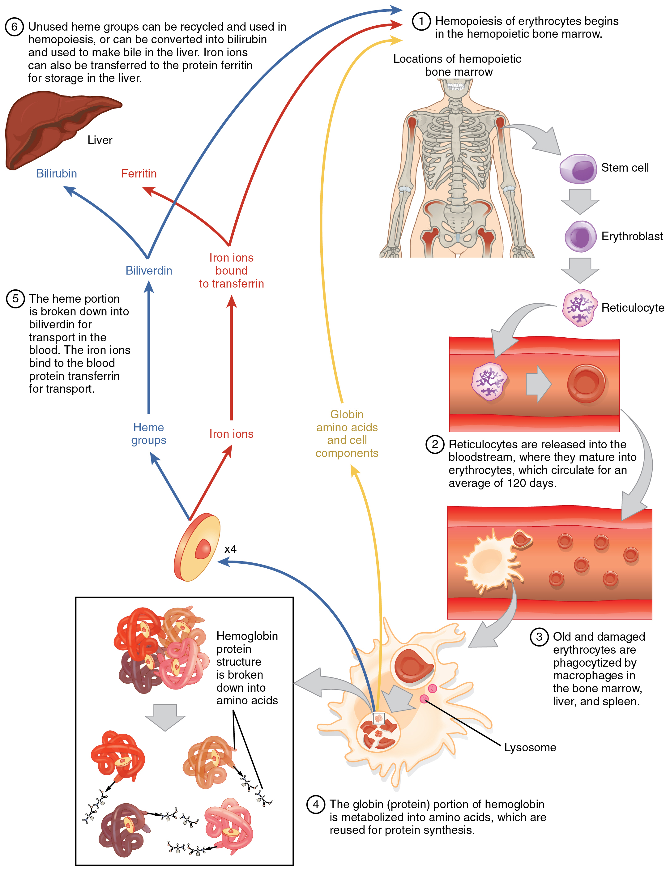 This flow chart shows the life cycle of a red blood cell. The first step is the hemopoeisis of erythrocytes in the bone marrow. Further steps in this diagram show the passage of erythrocytes through the blood stream, the breakdown of heme protein, and liver function.