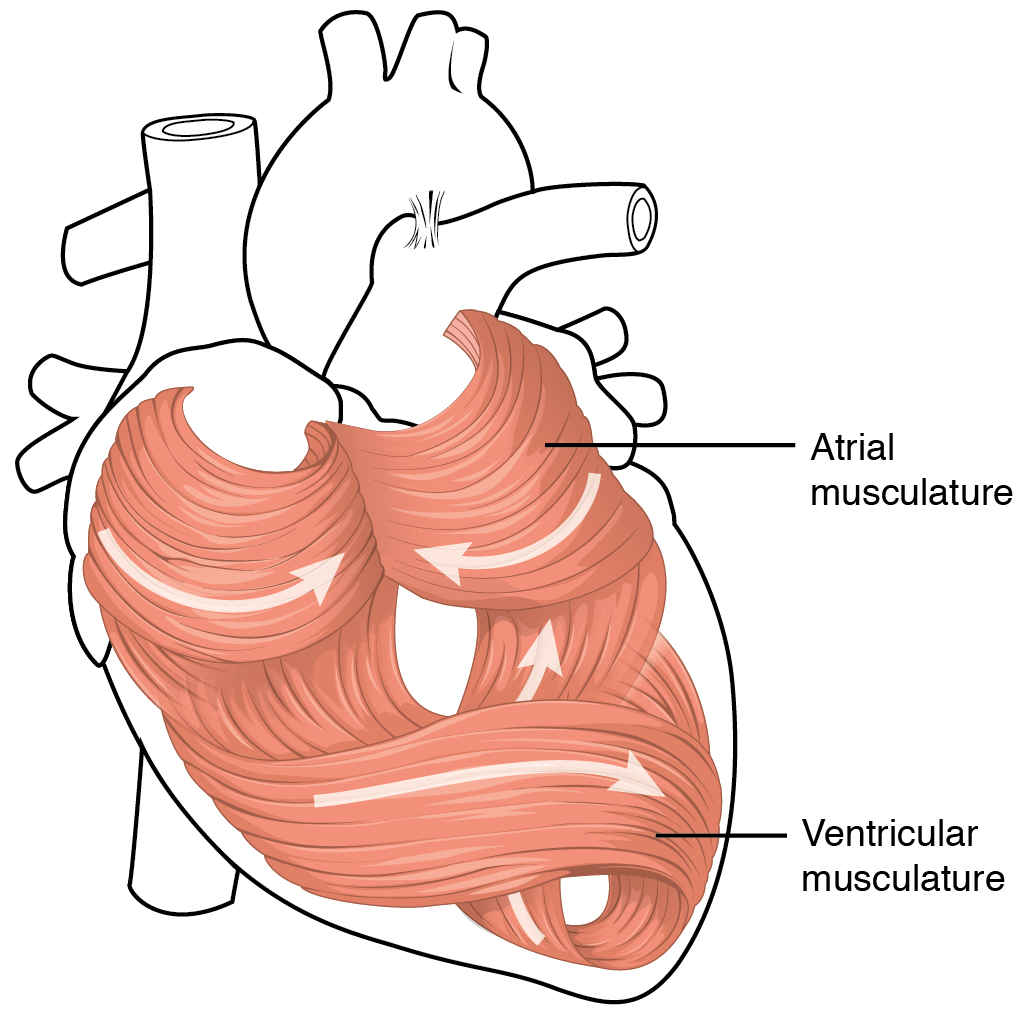 This diagram shows the muscles in the heart.