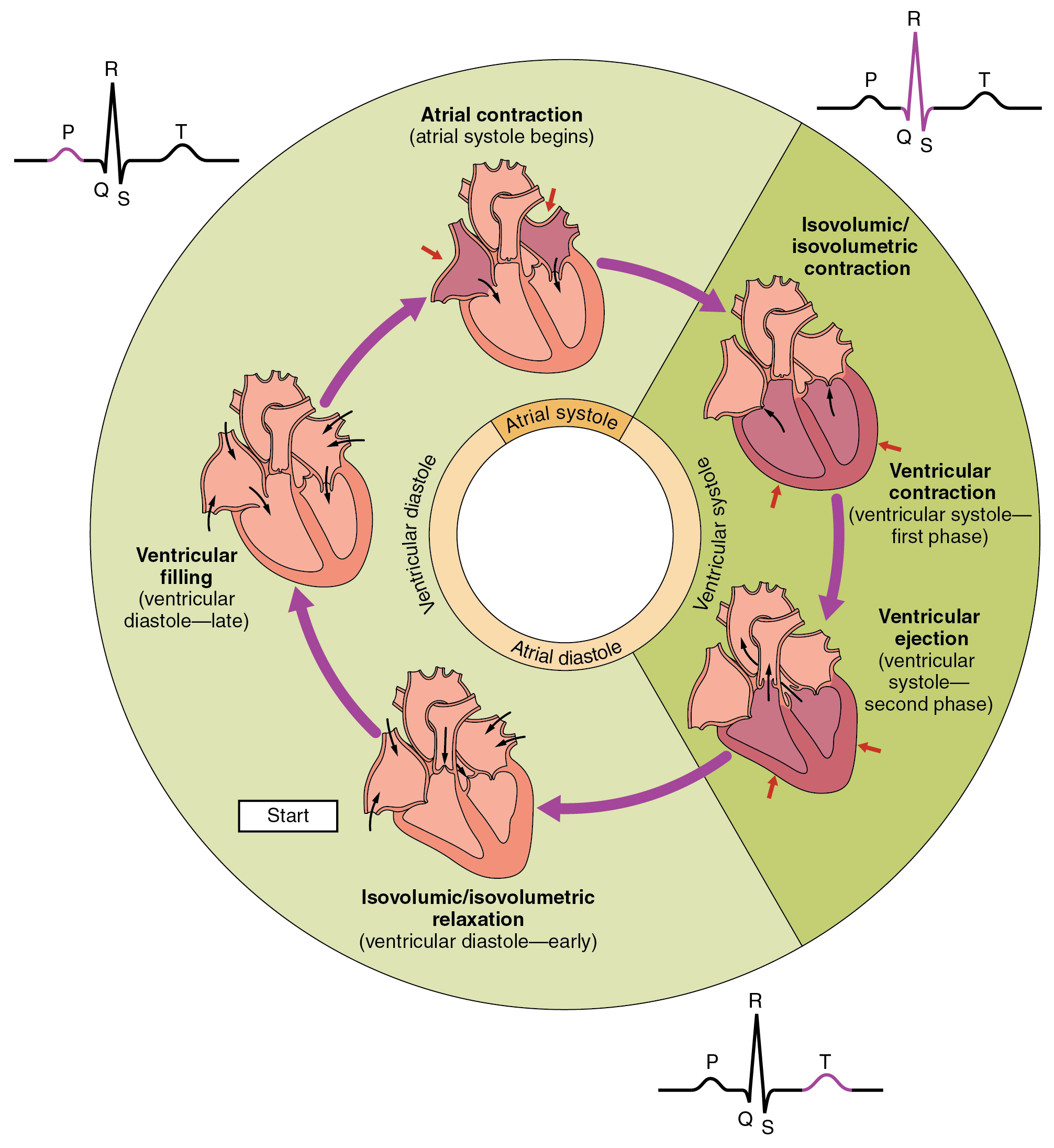 This pie chart shows the different phases of the cardiac cycle and details the atrial and ventricular stages.