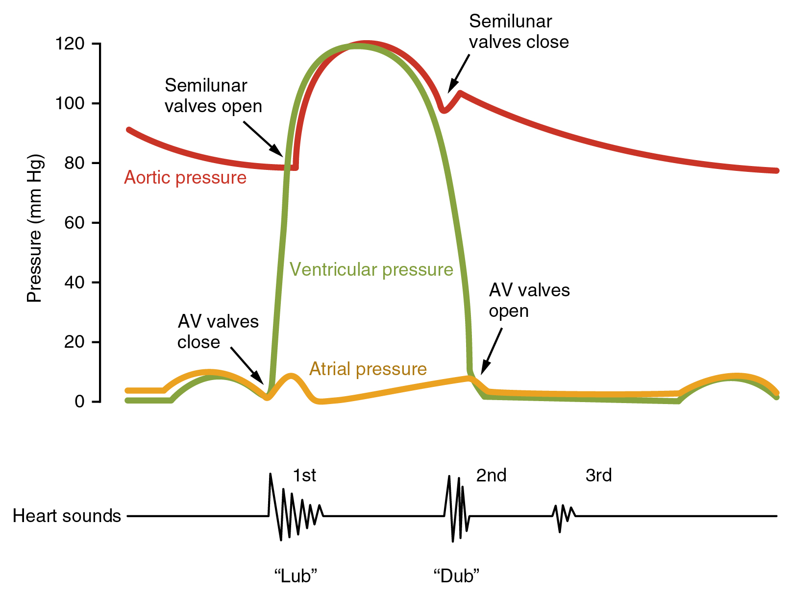 This image shows a graph of the blood pressure with the different stages labeled. Under the graph, a line shows the different sounds made by the beating heart.