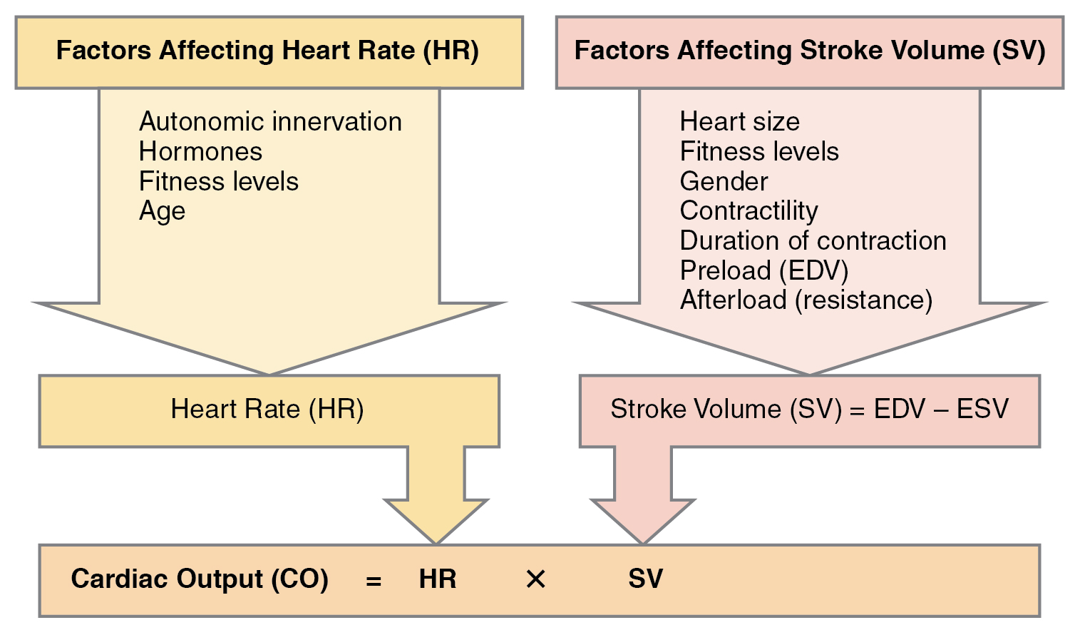 This figure lists the different factors affecting the heart rate and stroke volume. It also shows how they both affect the cardiac output.