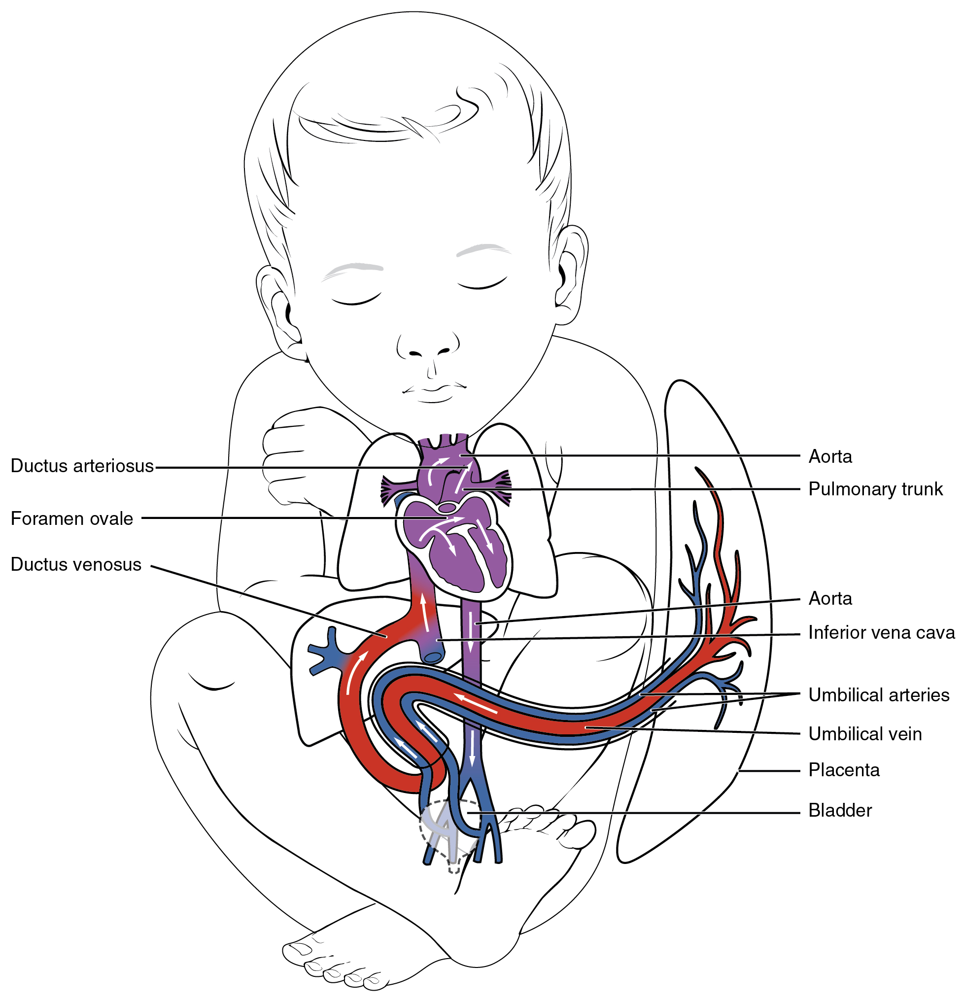 This figure shows the blood vessels in a fetus.