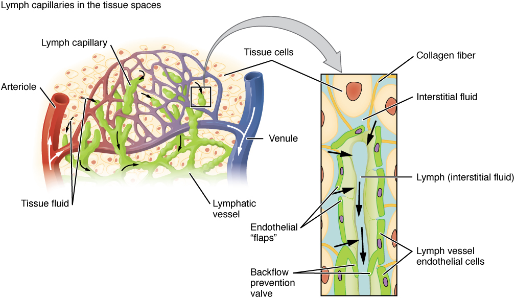 Anatomy of the Lymphatic and Immune Systems – Anatomy and