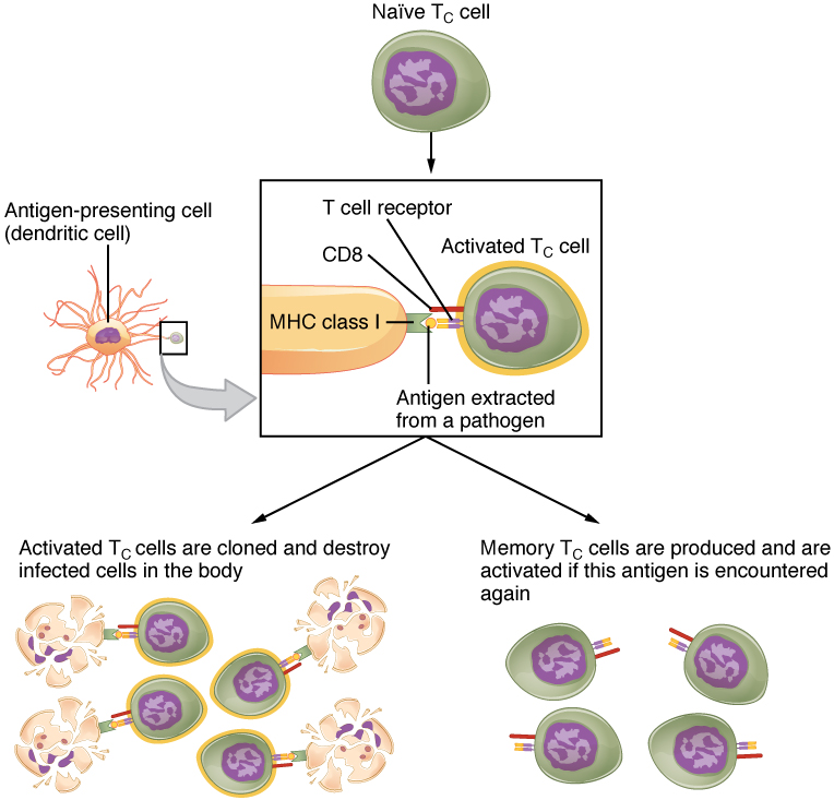 This flowchart shows the process in which a naïve T cell become activated T cells in the left part of the pathway and memory cells in the right part of the pathway.