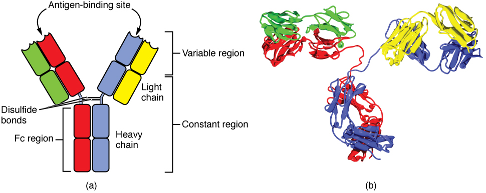 This diagram shows the four chain structure of a generic antibody.