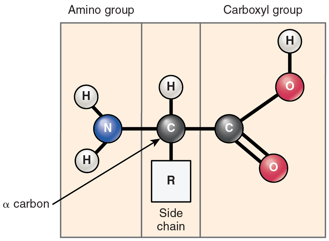 This figure shows the structure of an amino acid.