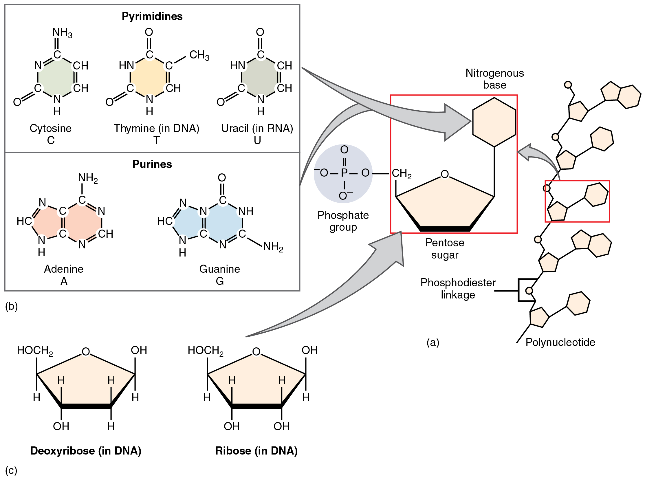 This figure shows the structure of nucleotides.