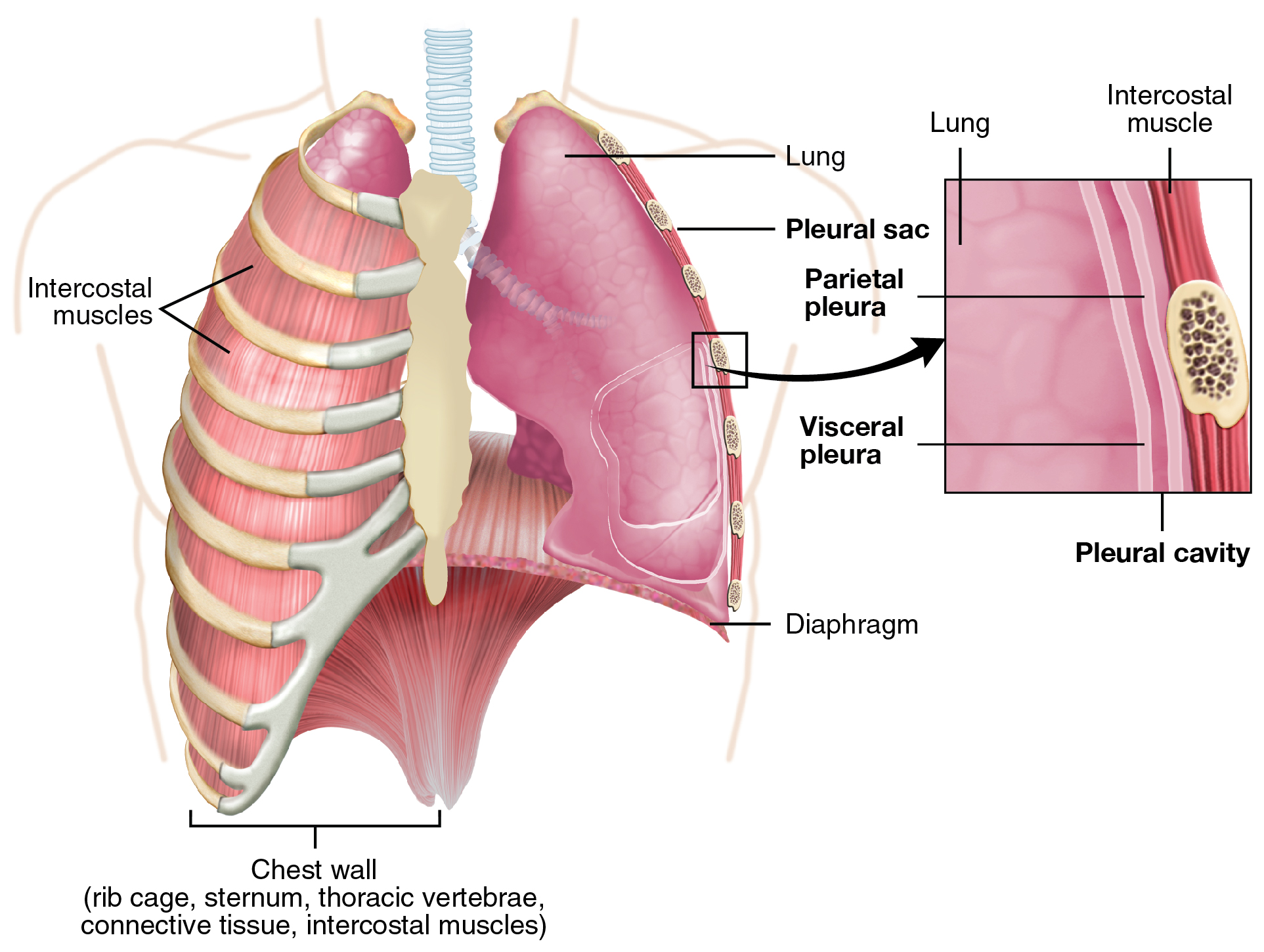 This figure shows the lungs and the chest wall, which protects the lungs, in the left panel. In the right panel, a magnified image shows the pleural cavity and a pleural sac.