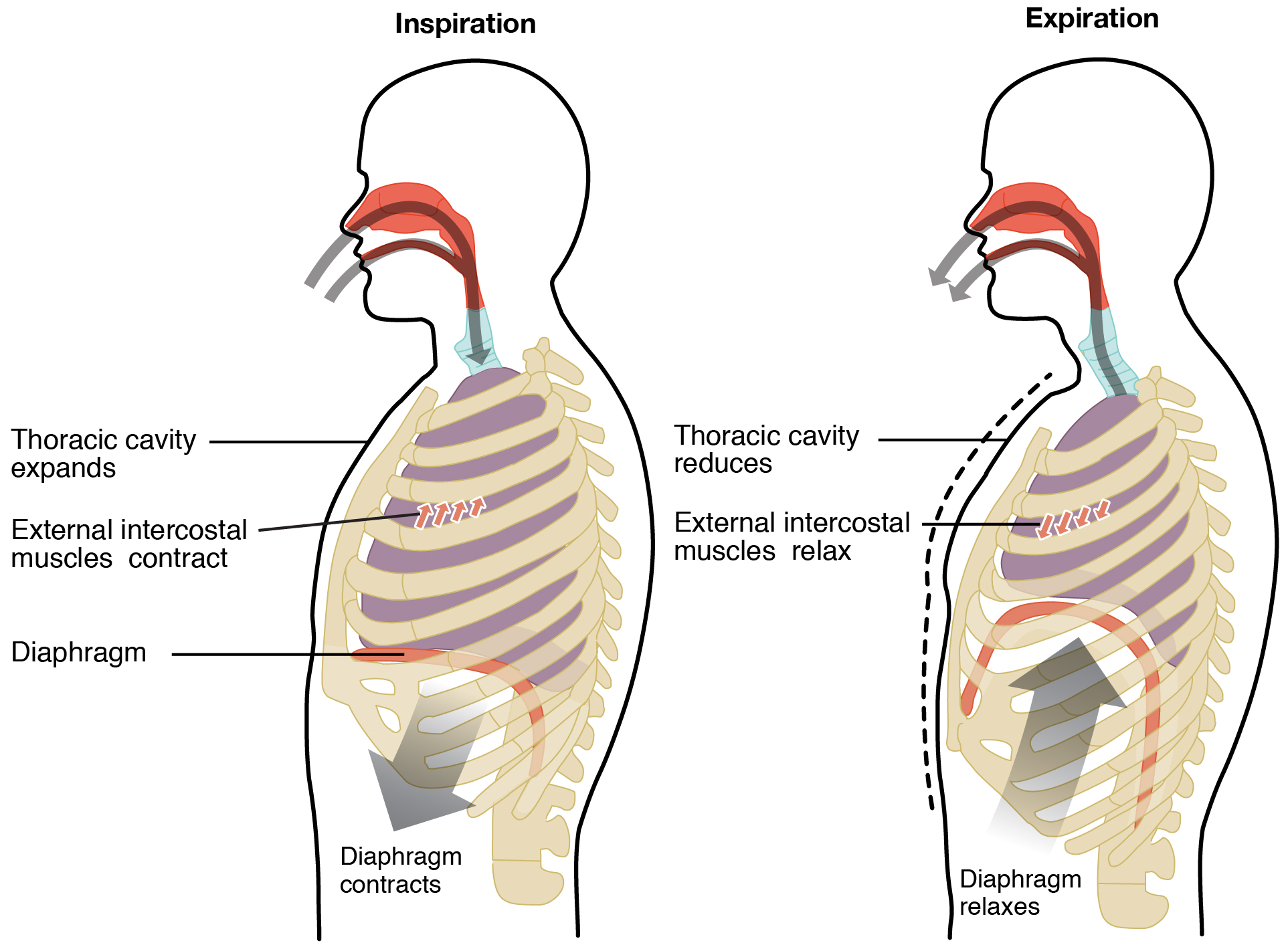 The left panel of this image shows a person inhaling air and the location of the chest muscles. The right panel shows the person exhaling air and the contraction of the thoracic cavity.