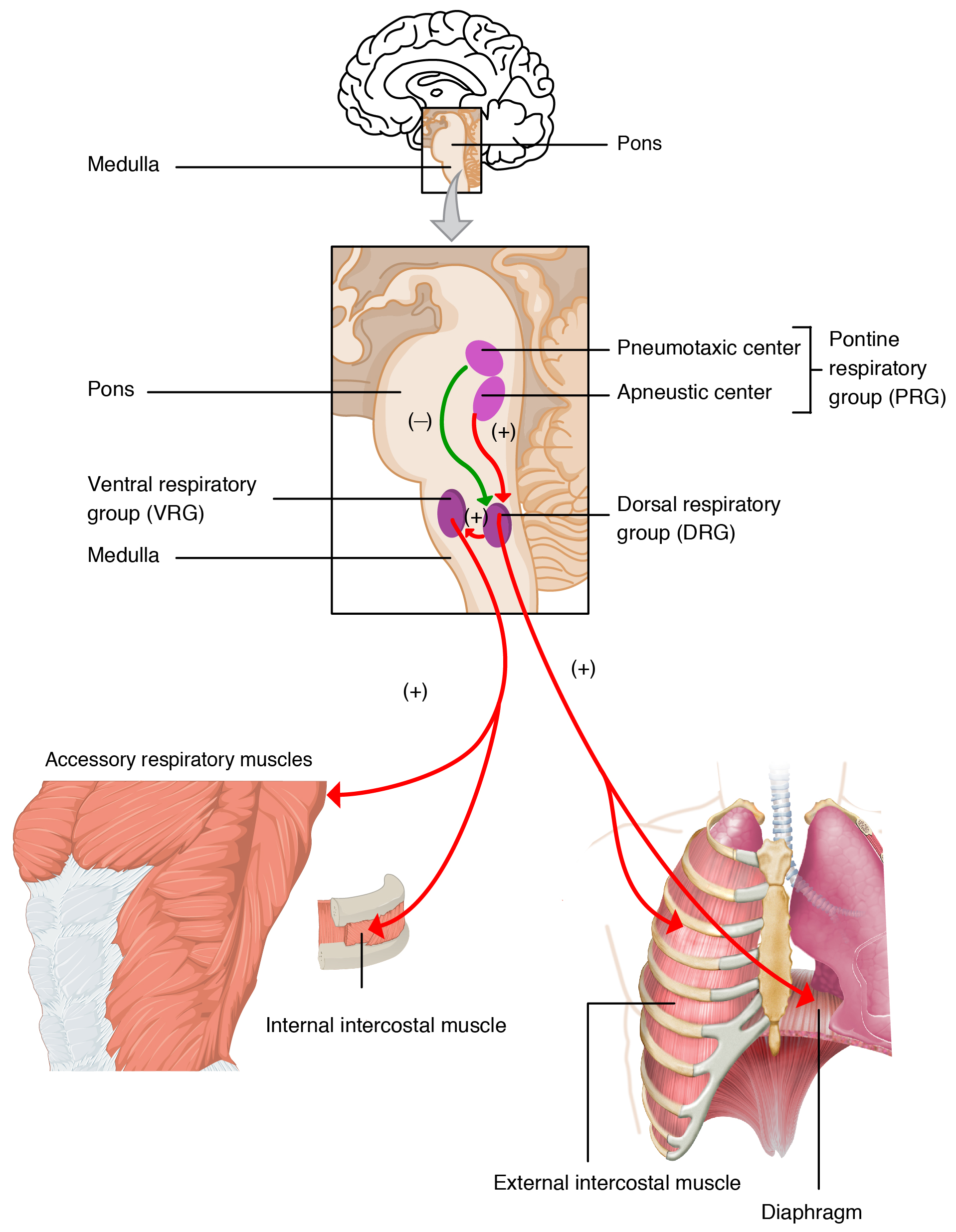 The top panel of this image shows the regions of the brain that control respiration. The middle panel shows a magnified view of these regions and links the regions of the brain to the specific organs that they control.