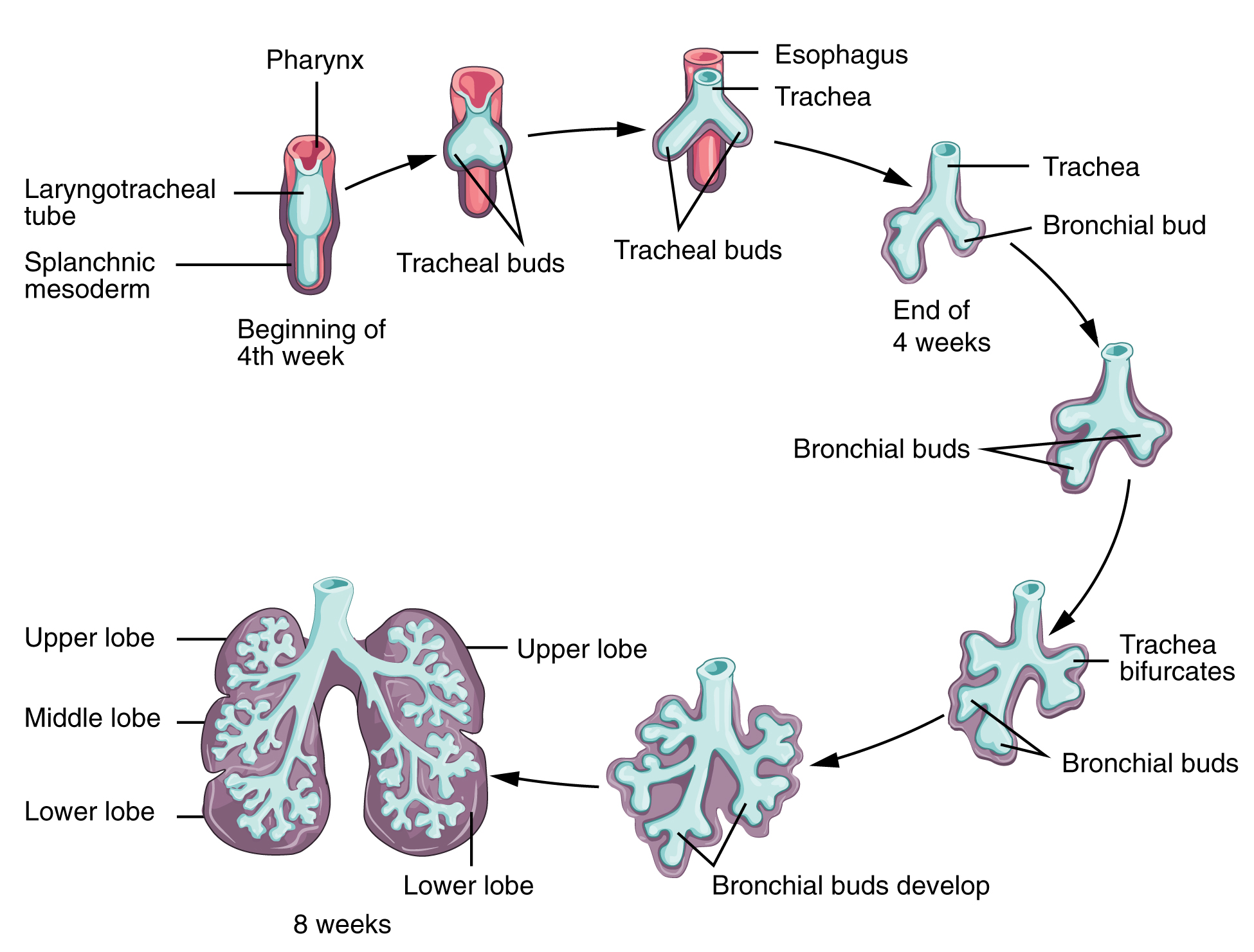 This flowchart shows the embryonic development of the respiratory system and correlates the gestational age to the appearance of new features.