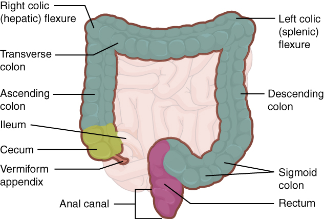 This image shows the large intestine; the major parts of the large intestine are labeled.