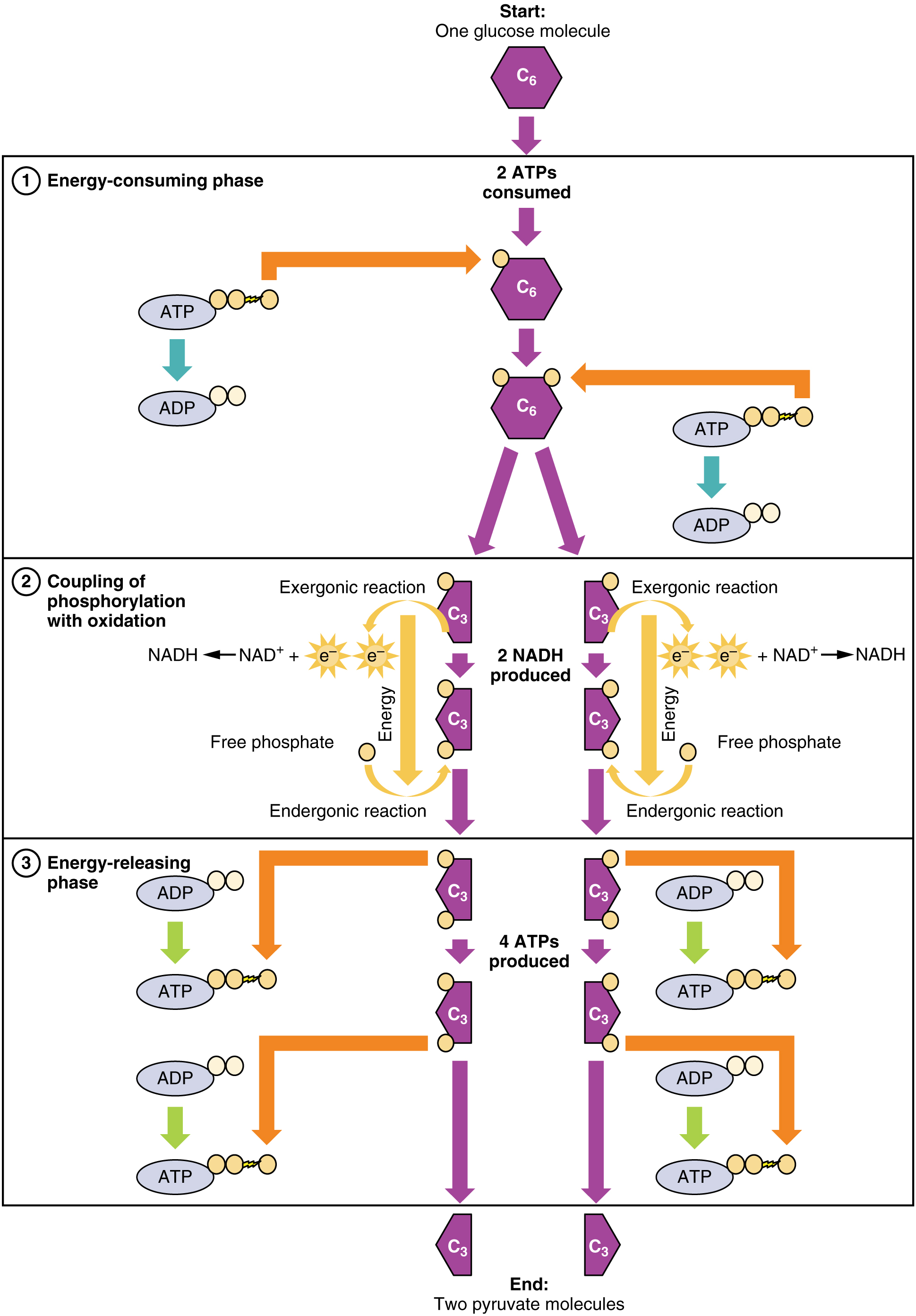 This flowchart shows the different steps in glycolysis in detail. The top panel shows the energy-consuming phase, the middle panel shows the coupling of phosphorylation with oxidation, and the bottom panel shows the energy-releasing phase.