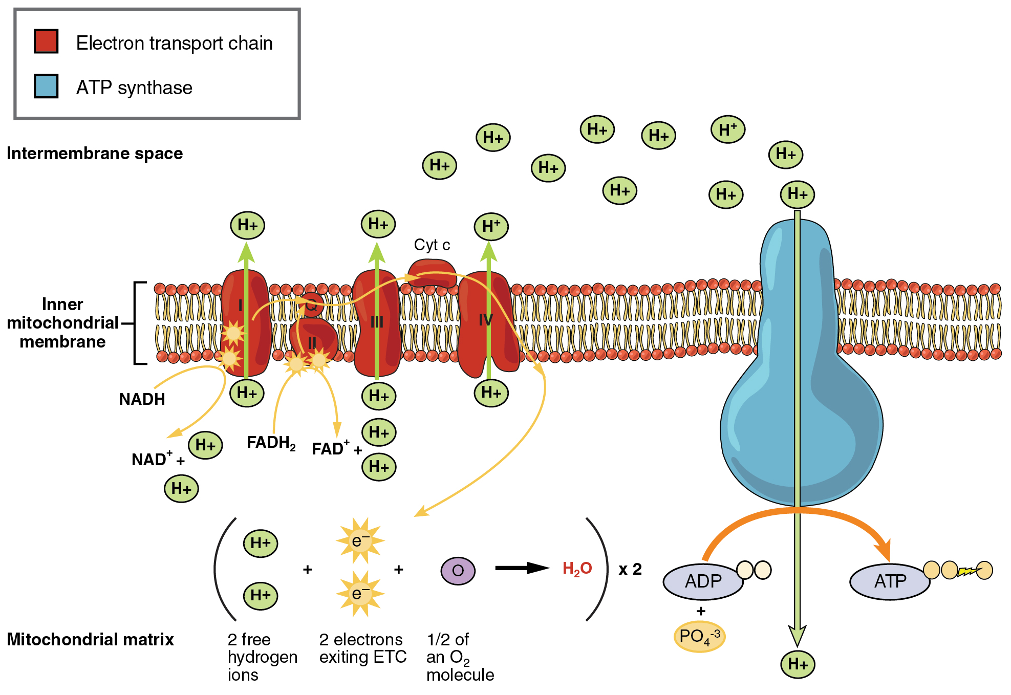 This image shows the mitochondrial membrane with proton pumps and ATP synthase embedded in the membrane. Arrows show the direction of flow of proteins and electrons across the membrane.