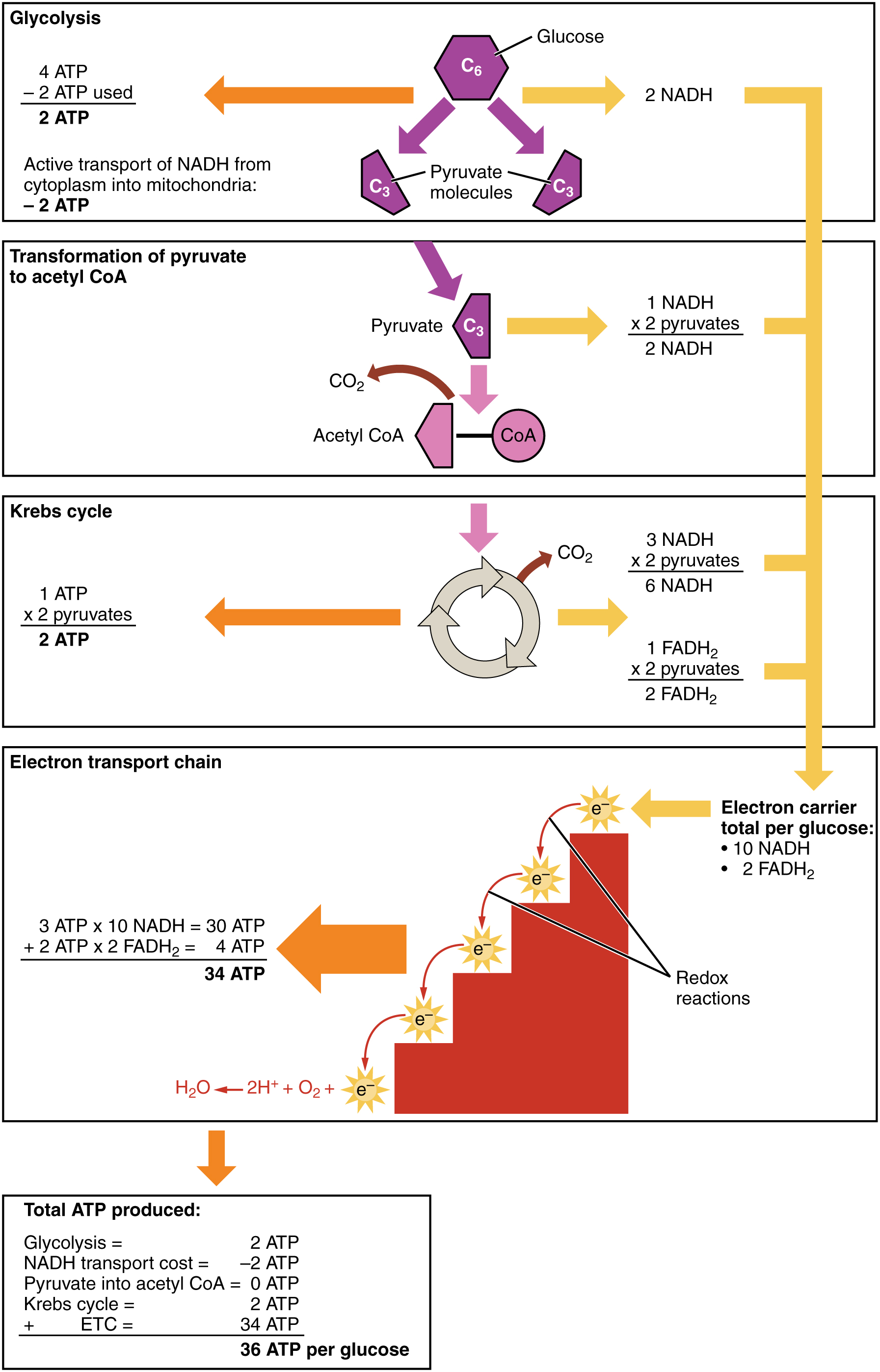 This figure shows the different steps in which carbohydrates are metabolized and lists the number of ATP molecules produced in each step. The different steps shown are glycolysis, transformation of pyruvate to acetyl-CoA, the Krebs cycle, and the electron transport chain.