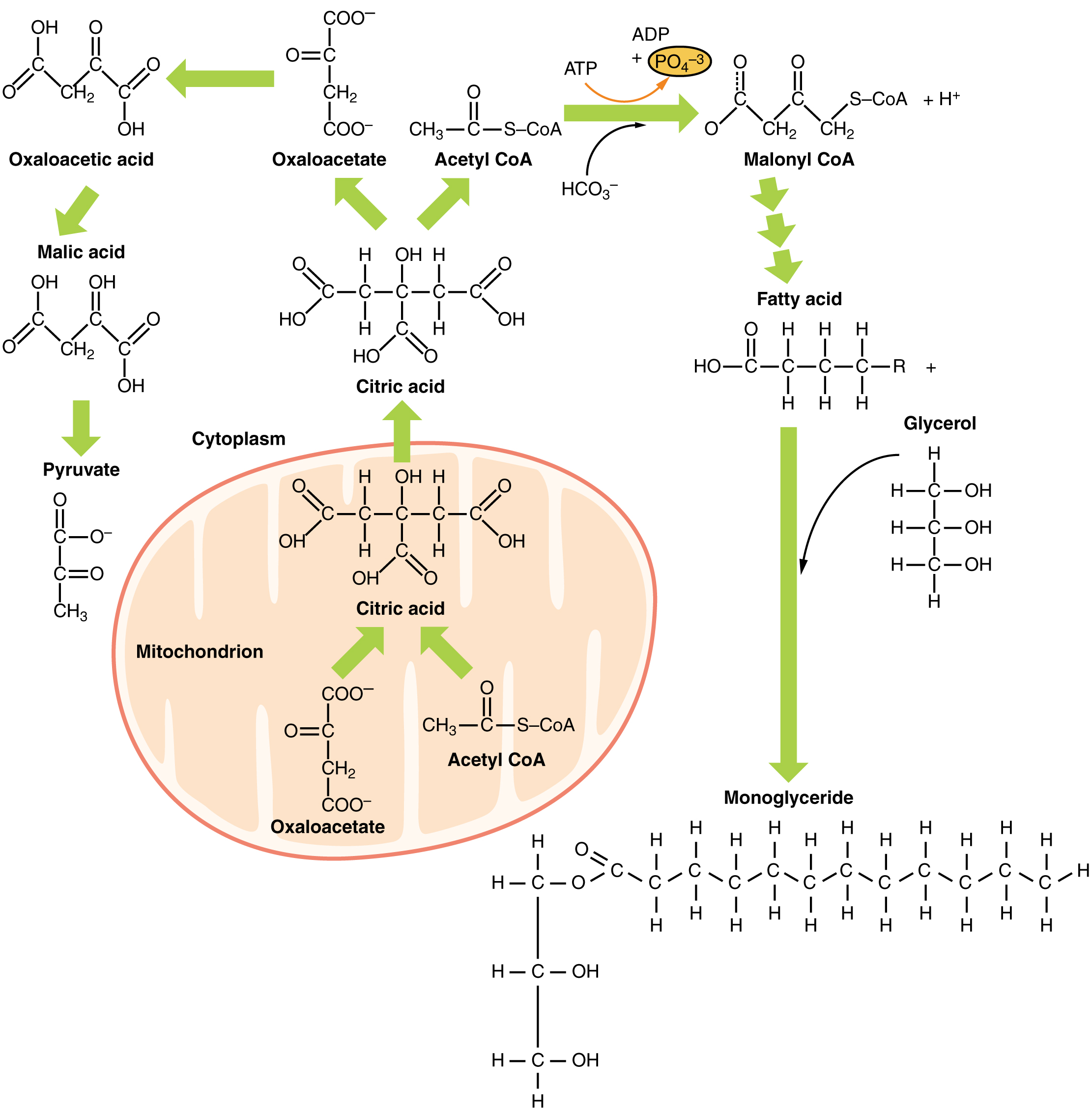 This figure shows the different reactions that take place for lipid metabolism.