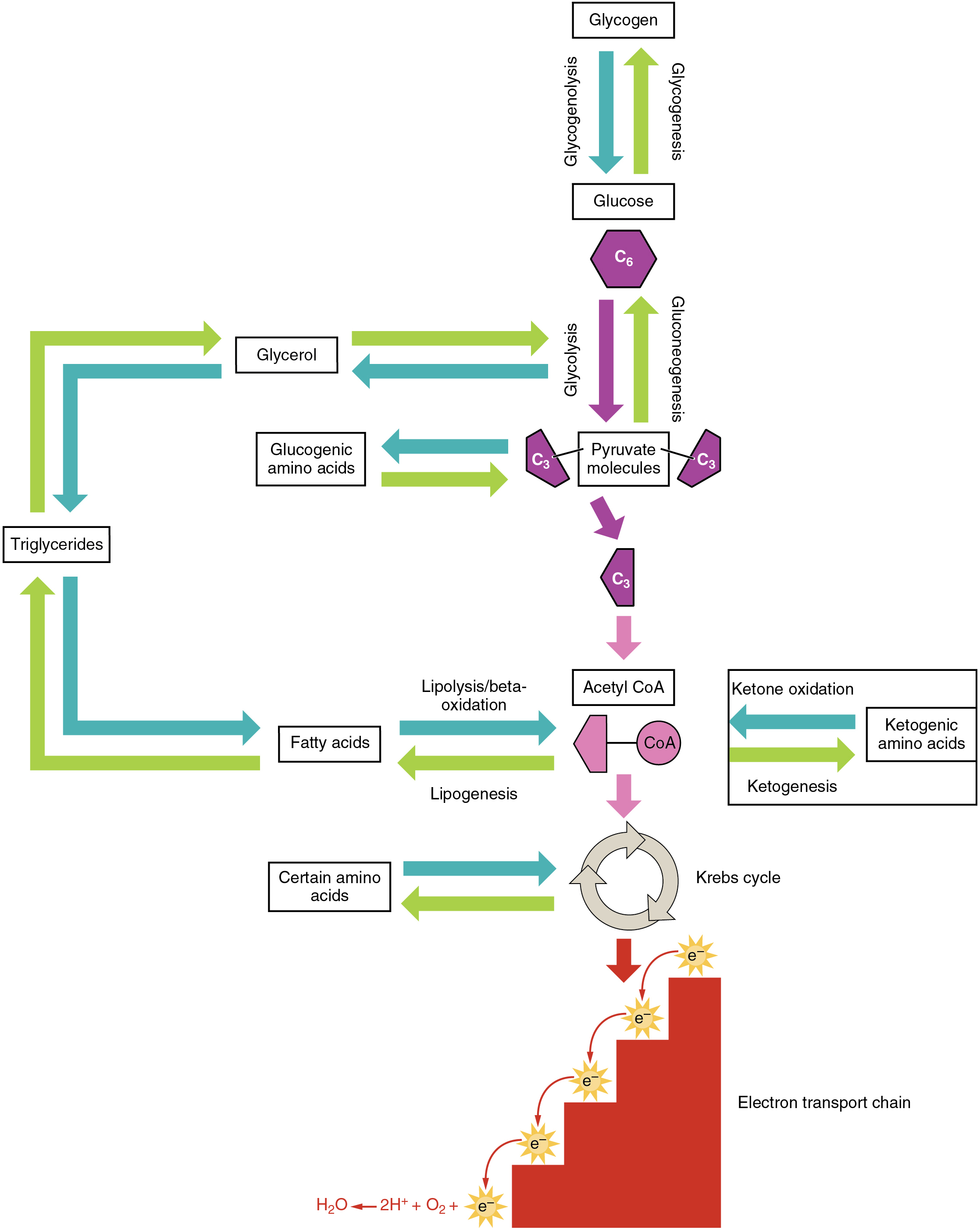 This diagram shows the different metabolic pathways, and how they are connected.