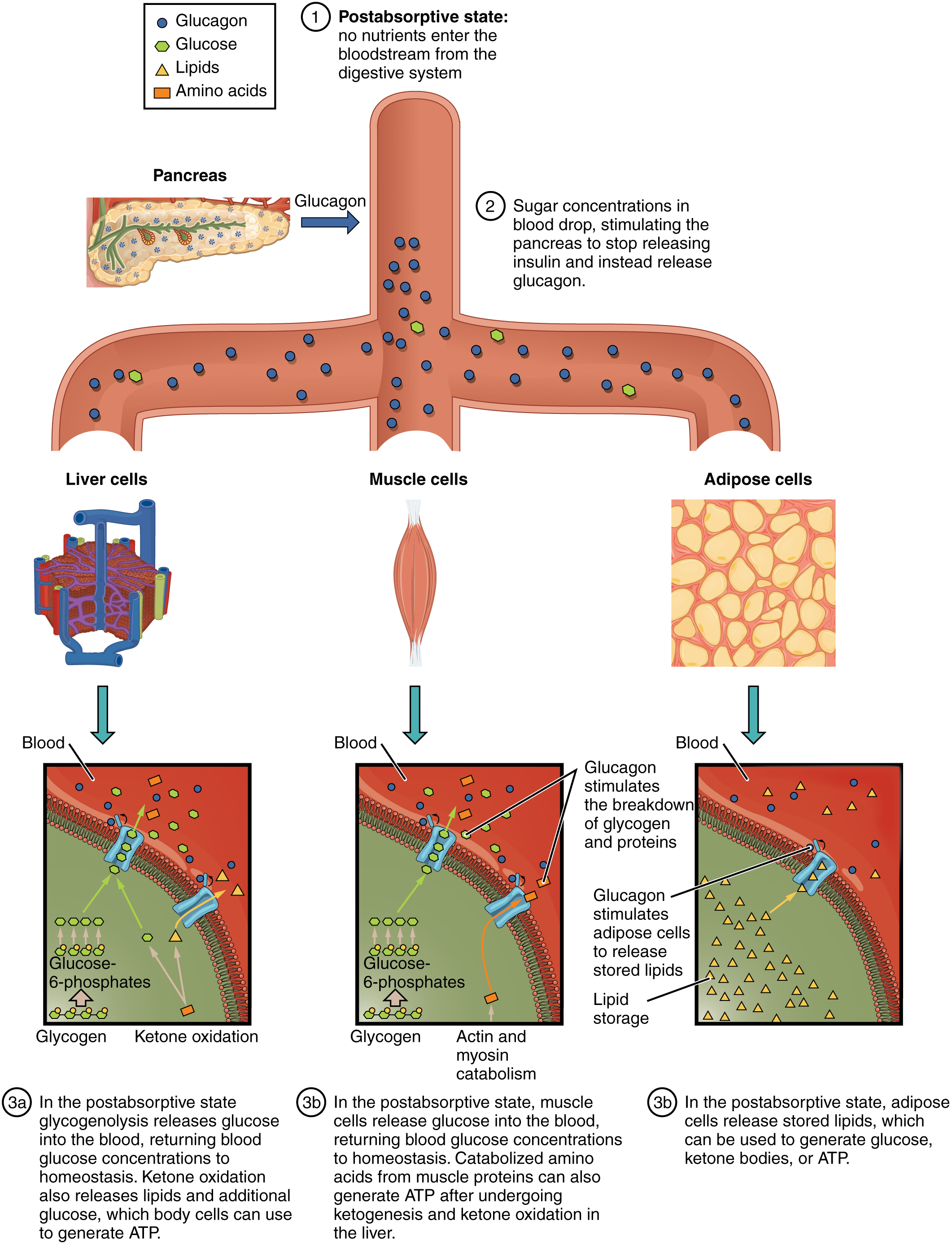This figure shows the postabsorptive stage where no nutrients enter the blood stream from the digestive system and its effects of liver cells, muscle cells, and adipose cells.