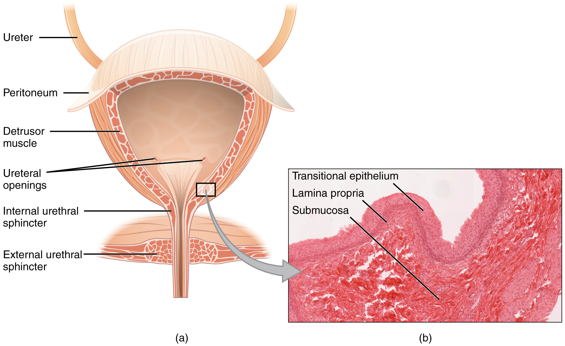 The left panel of this figure shows the cross section of the bladder and the major parts are labeled. The right panel shows a micrograph of the bladder.