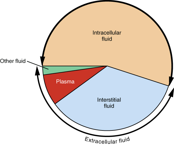 """This pie chart shows that about 55% of water in the human body is intracellular fluid. About 30% of the water in the human body is interstitial fluid. Most of the remaining 15% of water is plasma, along with a small percentage labeled """"other fluid""""."""