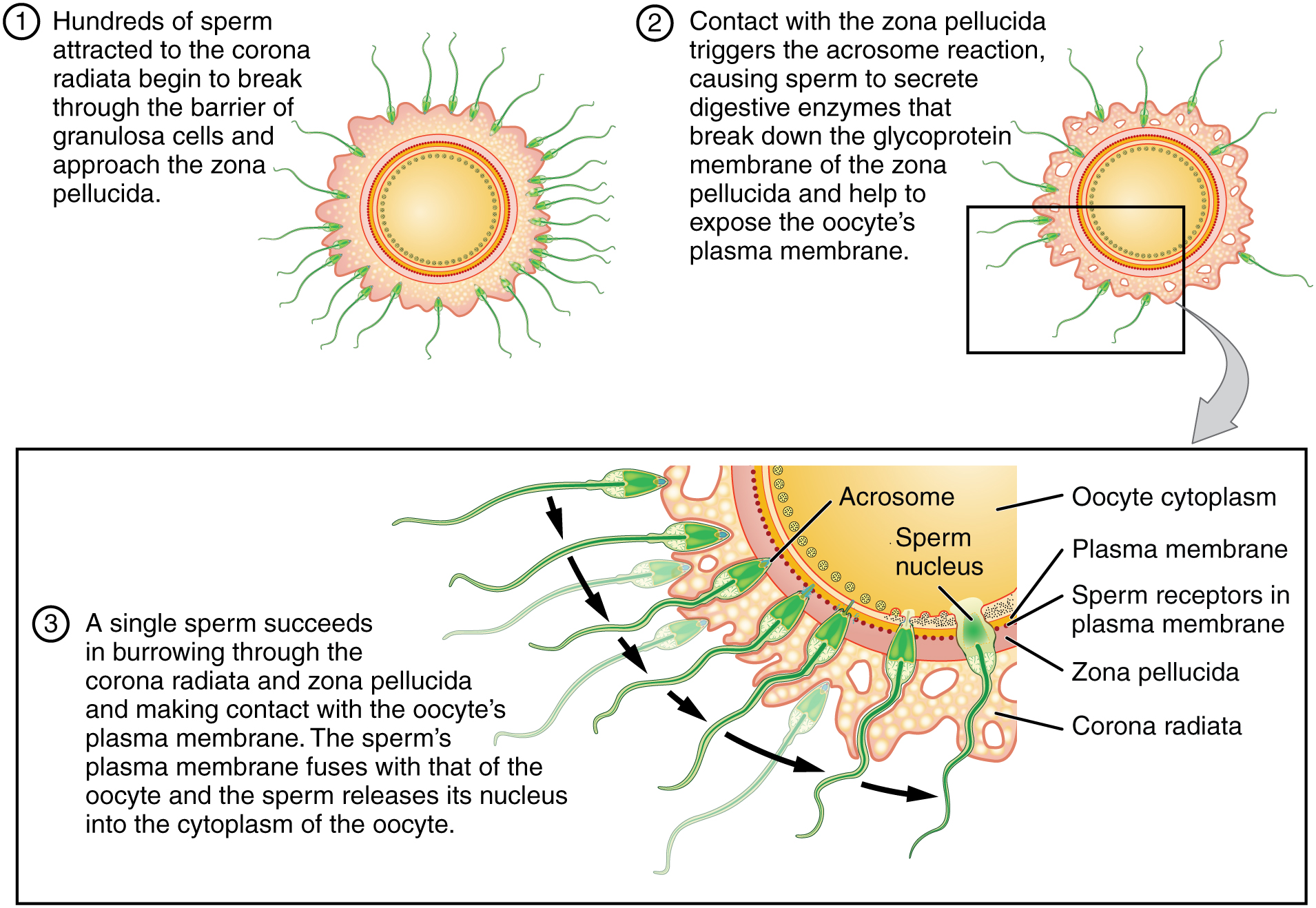 This figure shows the process of sperm fertilizing an egg. There are many sperm trying to attach to the egg.
