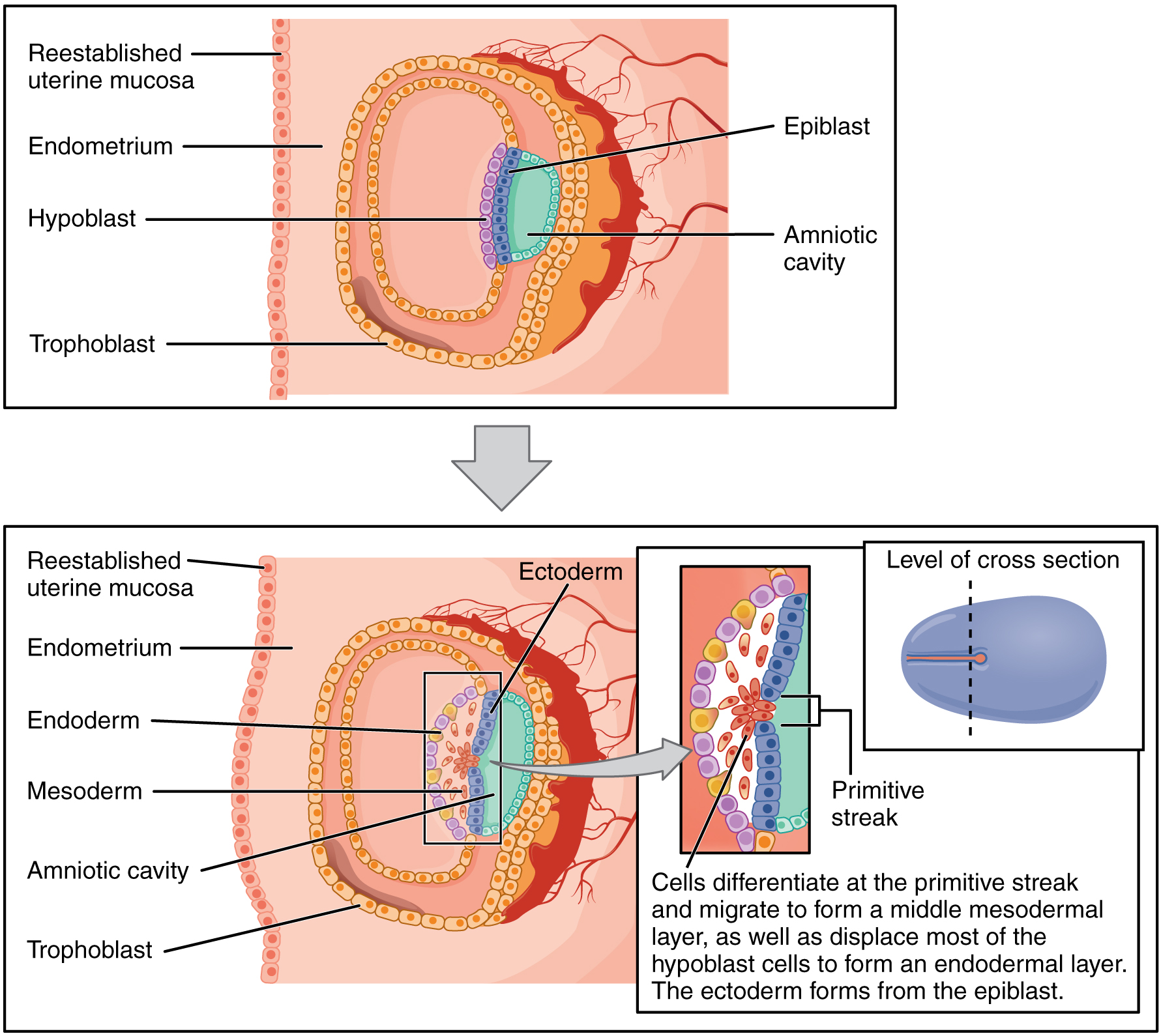This image shows the different germ layers. The top panel shows the epiblast and trophoblast cells in the early stages of development. The bottom panel shows the three germ layers: the endoderm, ectoderm, and mesoderm. All the other major parts are also labeled.