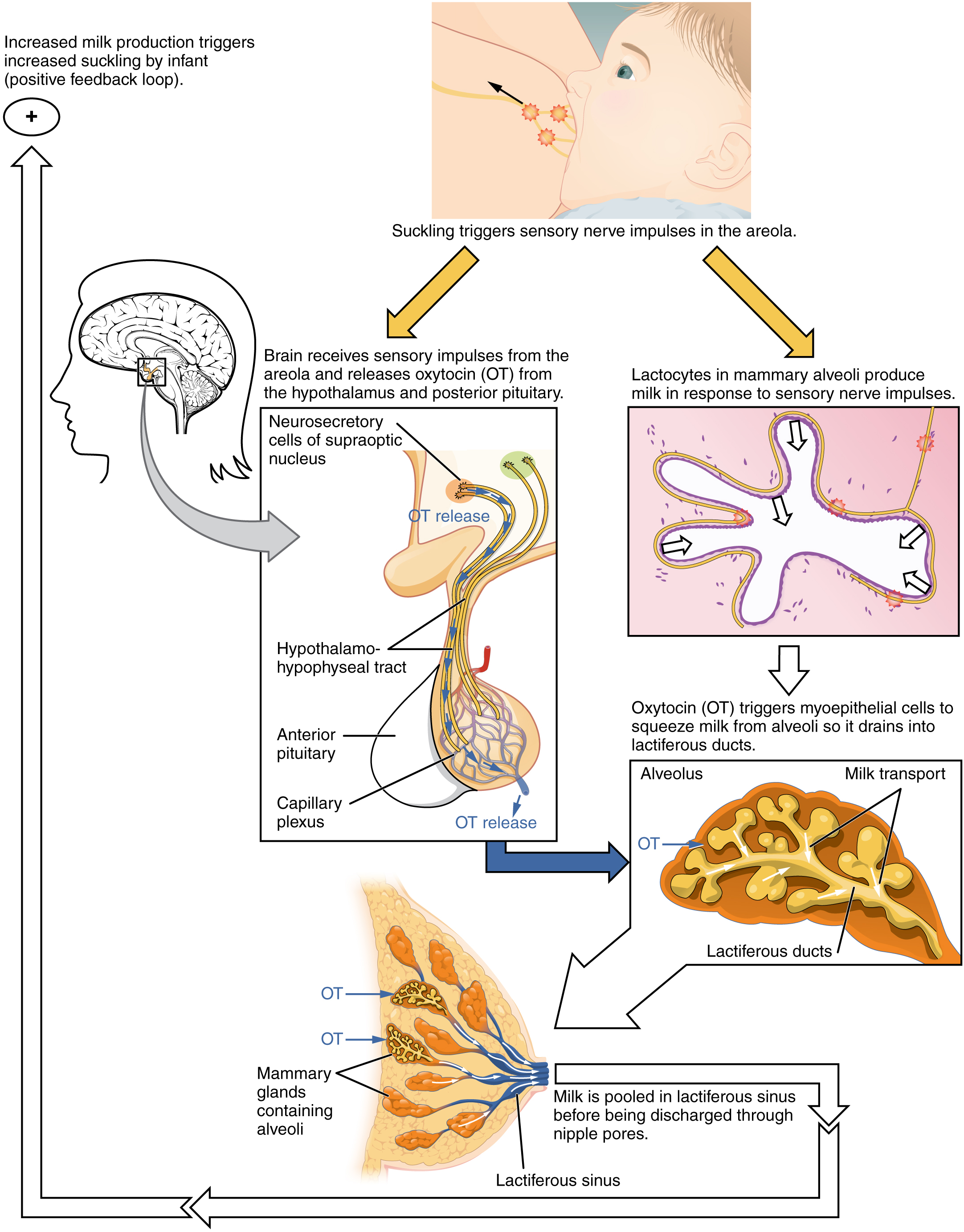 This figure shows the process of let down reflex, the process in which the brain receives sensory impulses to release the hormones necessary for producing and discharging milk to the suckling newborn.