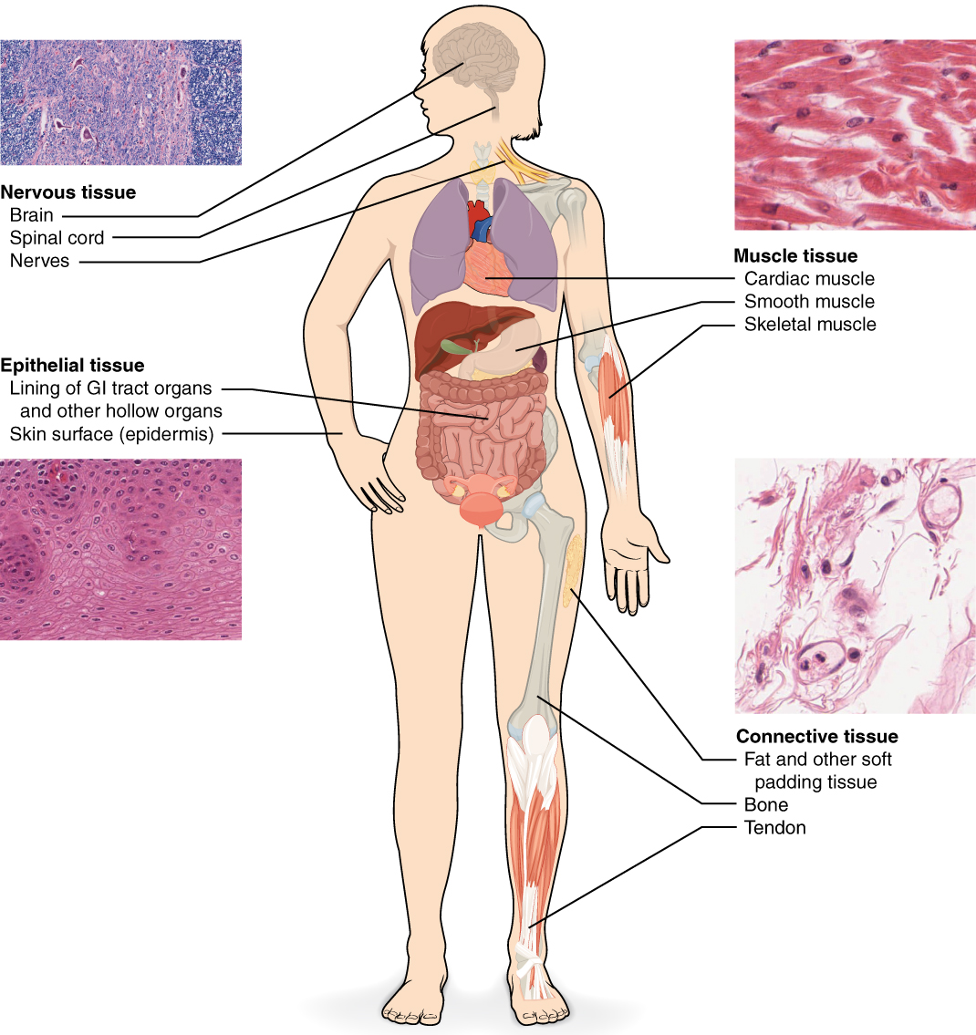 This diagram shows the silhouette of a female surrounded by four micrographs of tissue. Each micrograph has arrows pointing to the organs where that tissue is found. The upper left micrograph shows nervous tissue that is whitish with several large, purple, irregularly-shaped neurons embedded throughout. Nervous tissue is found in the brain, spinal cord and nerves. The upper right micrograph shows muscle tissue that is red with elongated cells and prominent, purple nuclei. Cardiac muscle is found in the heart. Smooth muscle is found in muscular internal organs, such as the stomach. Skeletal muscle is found in parts that are moved voluntarily, such as the arms. The lower left micrograph shows epithelial tissue. This tissue is purple with many round, purple cells with dark purple nuclei. Epithelial tissue is found in the lining of GI tract organs and other hollow organs such as the small intestine. Epithelial tissue also composes the outer layer of the skin, known as the epidermis. Finally, the lower right micrograph shows connective tissue, which is composed of very loosely packed purple cells and fibers. There are large open spaces between clumps of cells and fibers. Connective tissue is found in the leg within fat and other soft padding tissue as well as bones and tendons.